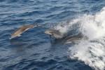 Atlantic Ocean, Dolphins, 2006, IMG_3962