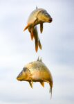 Azerbaijan, Beylaqan Prov, Fish On String, 2009, IMG 9571