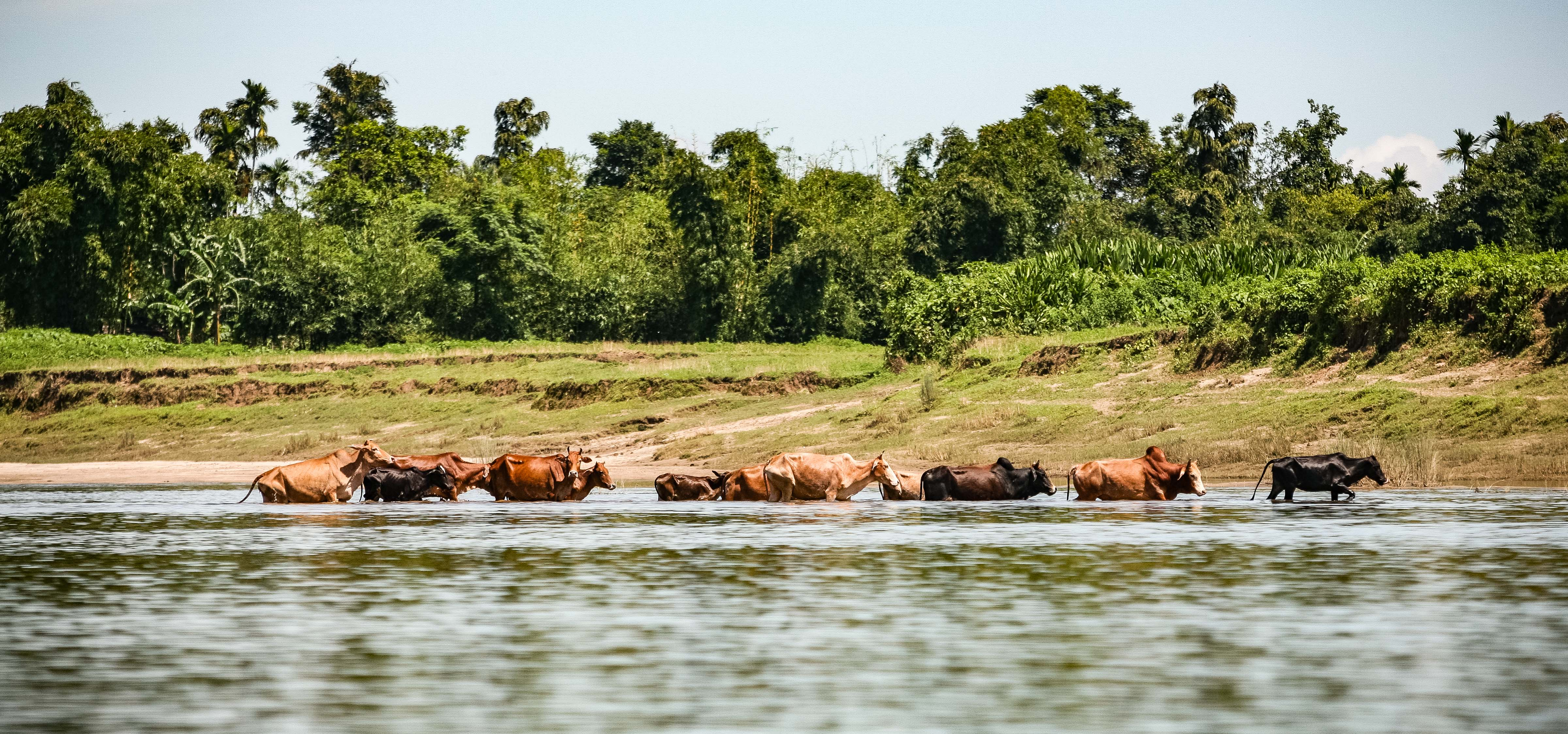 Bangladesh, Sylhet Prov, Cattle In River, 2009, IMG 8121