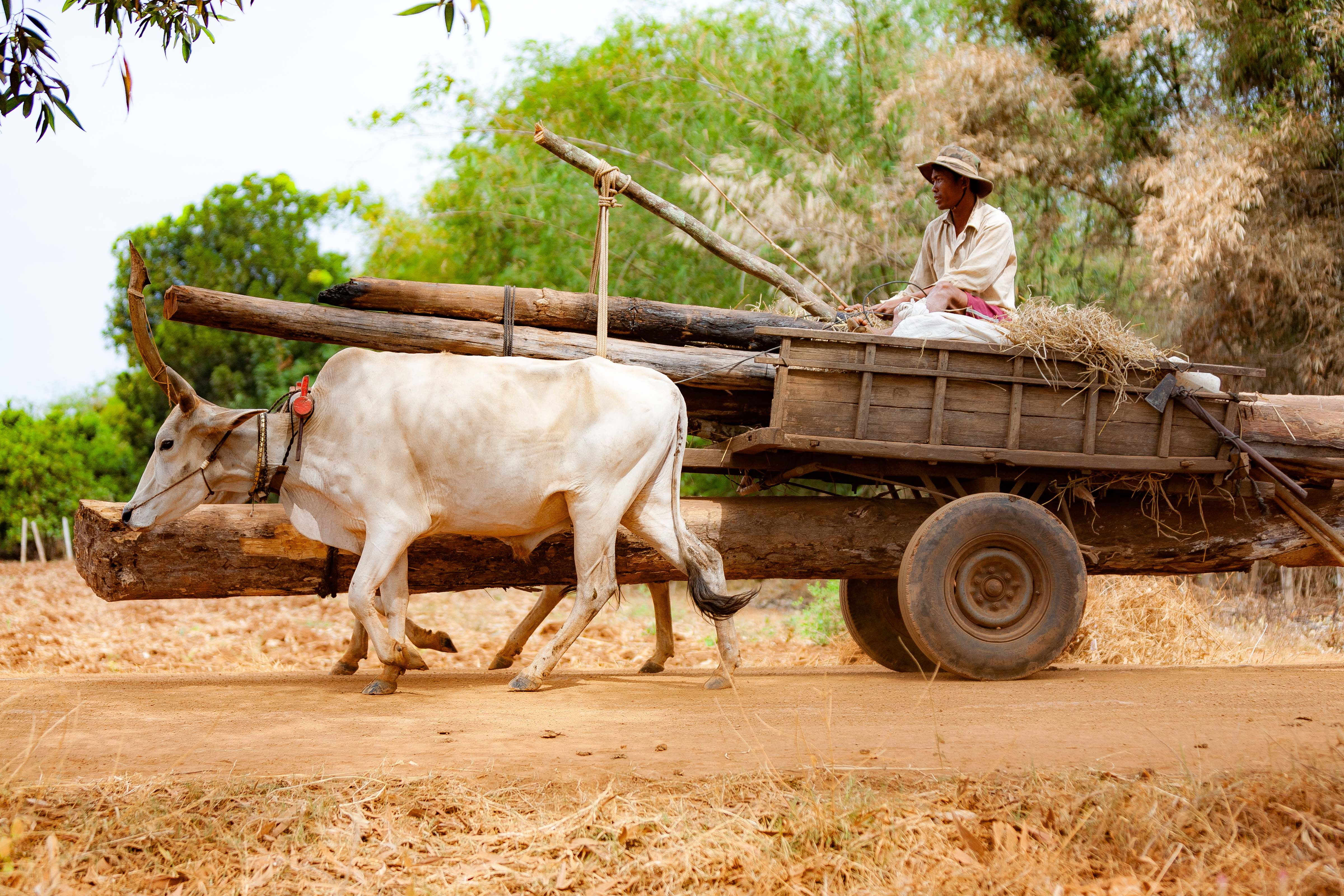Cambodia, Kampong Chaam Prov, Cow Drawn Logging Cart, 2010, IMG 5424