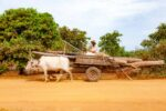 Cambodia,_Kampong_Chaam_Prov,_Cow_Drawn_Logging_Cart,_2010,_IMG_5429