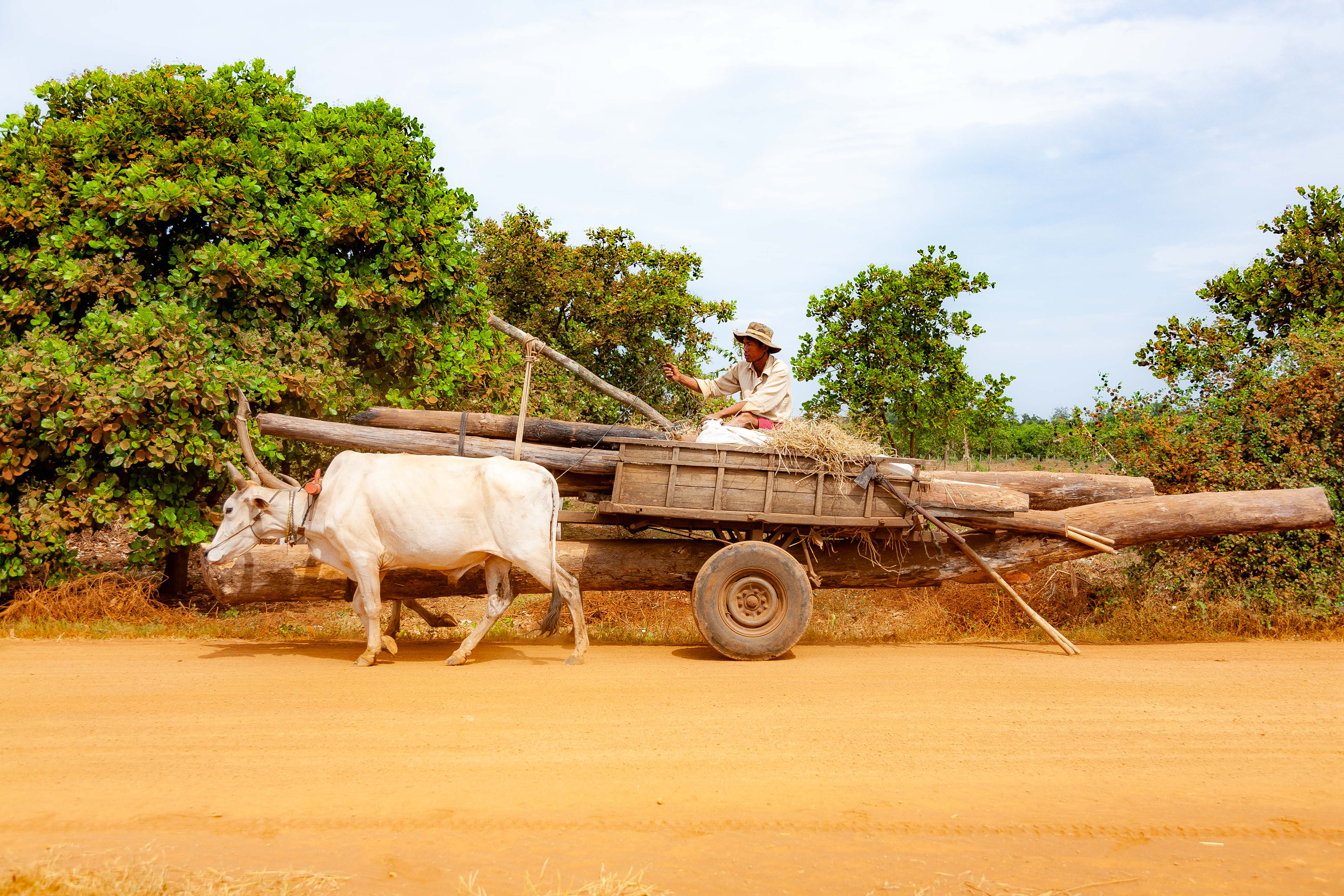Cambodia, Kampong Chaam Prov, Cow Drawn Logging Cart, 2010, IMG 5429