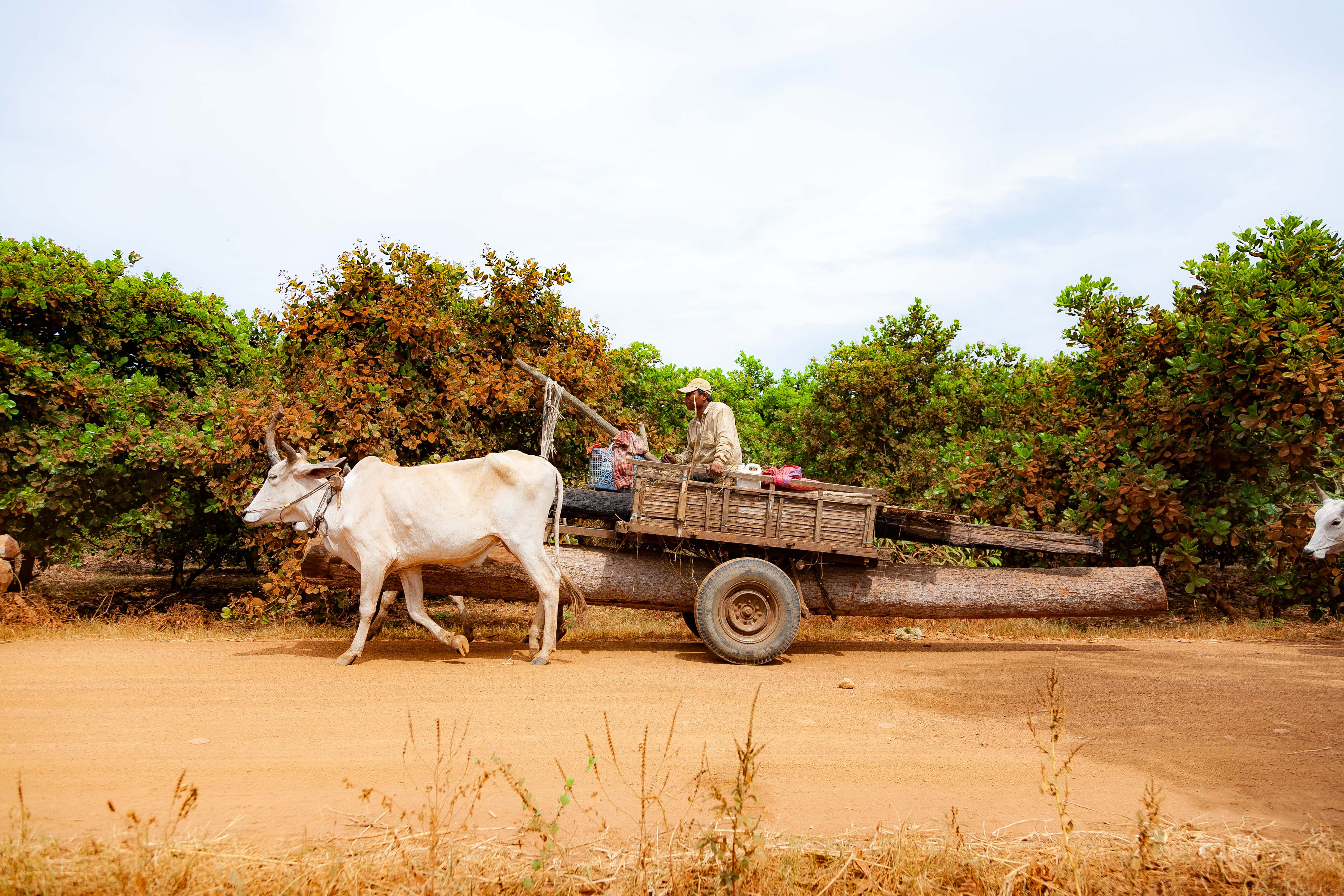 Cambodia, Kampong Chaam Prov, Cow Drawn Logging Cart, 2010, IMG 5431