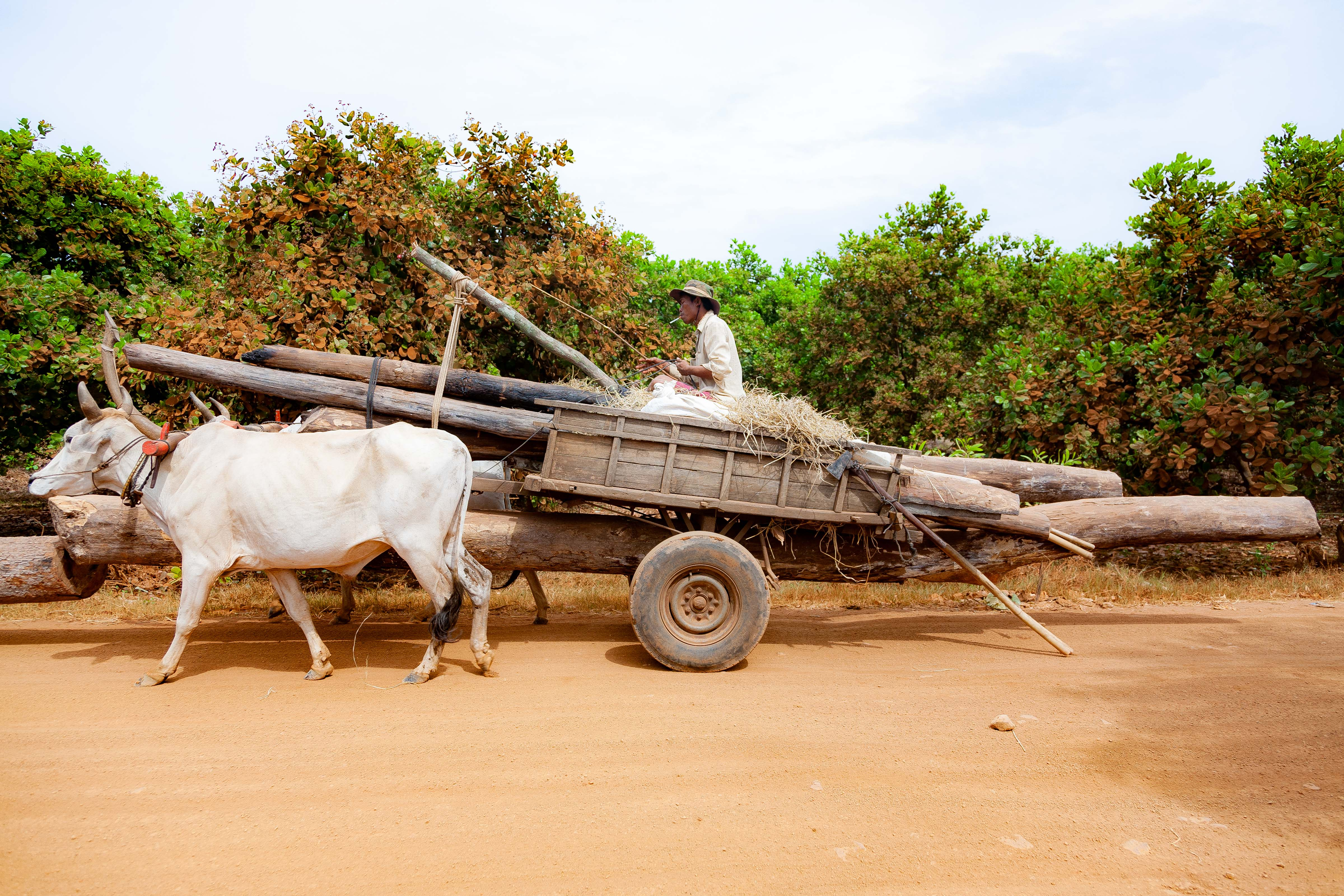 Cambodia, Kampong Chaam Prov, Cow Drawn Logging Cart, 2010, IMG 5432