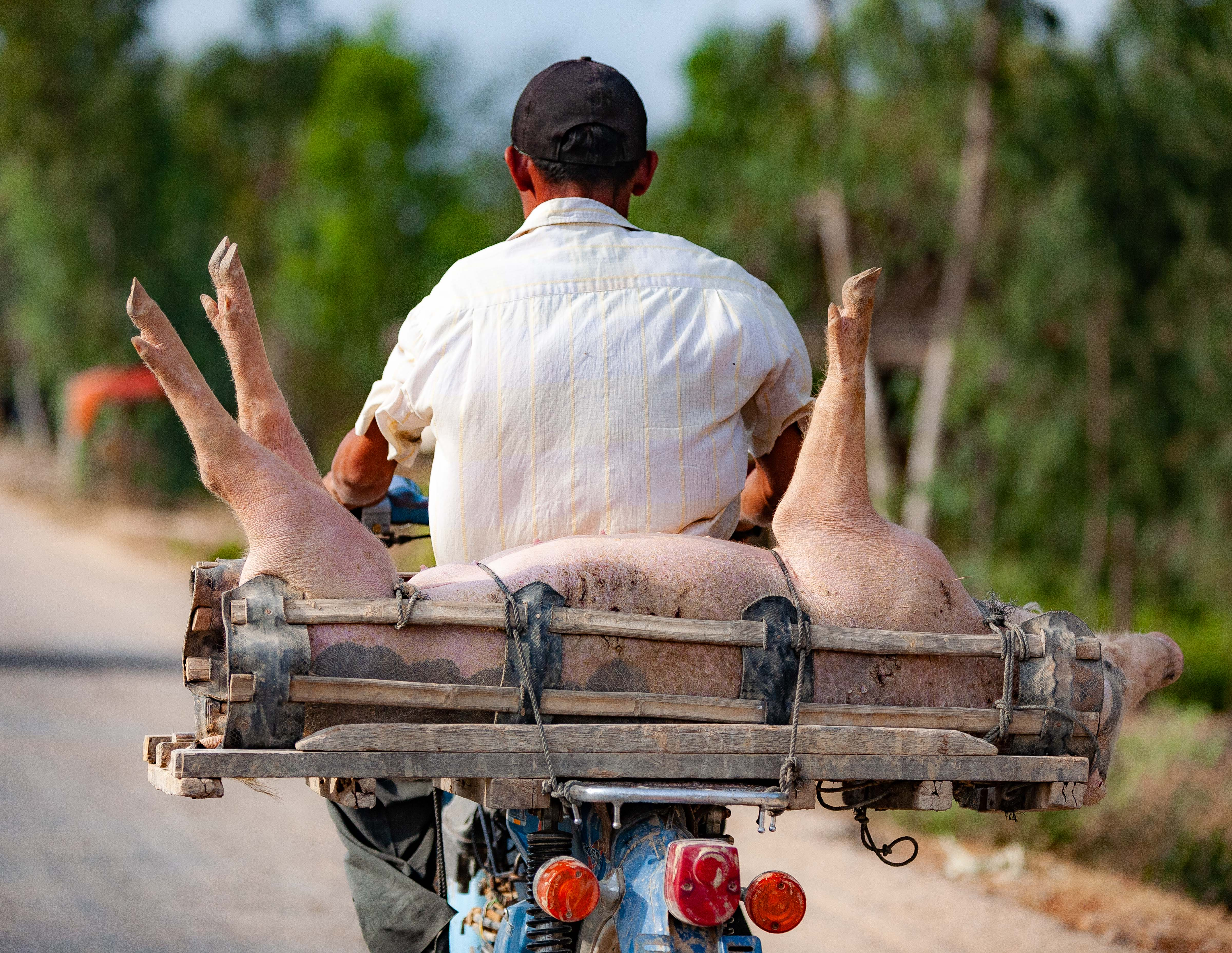 Cambodia, Prey Veaeng Prov, No Way To Treat A Pig, 2010, IMG 5260