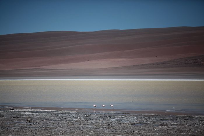 Chile, Antofagasta Prov, Flamingos In Laguna, 2010, IMG 3977