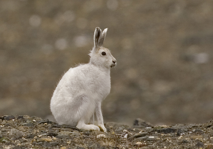 DK, Greenland, Bliss Bugt, Arctic Hare, 2007, IMG_3527CU1