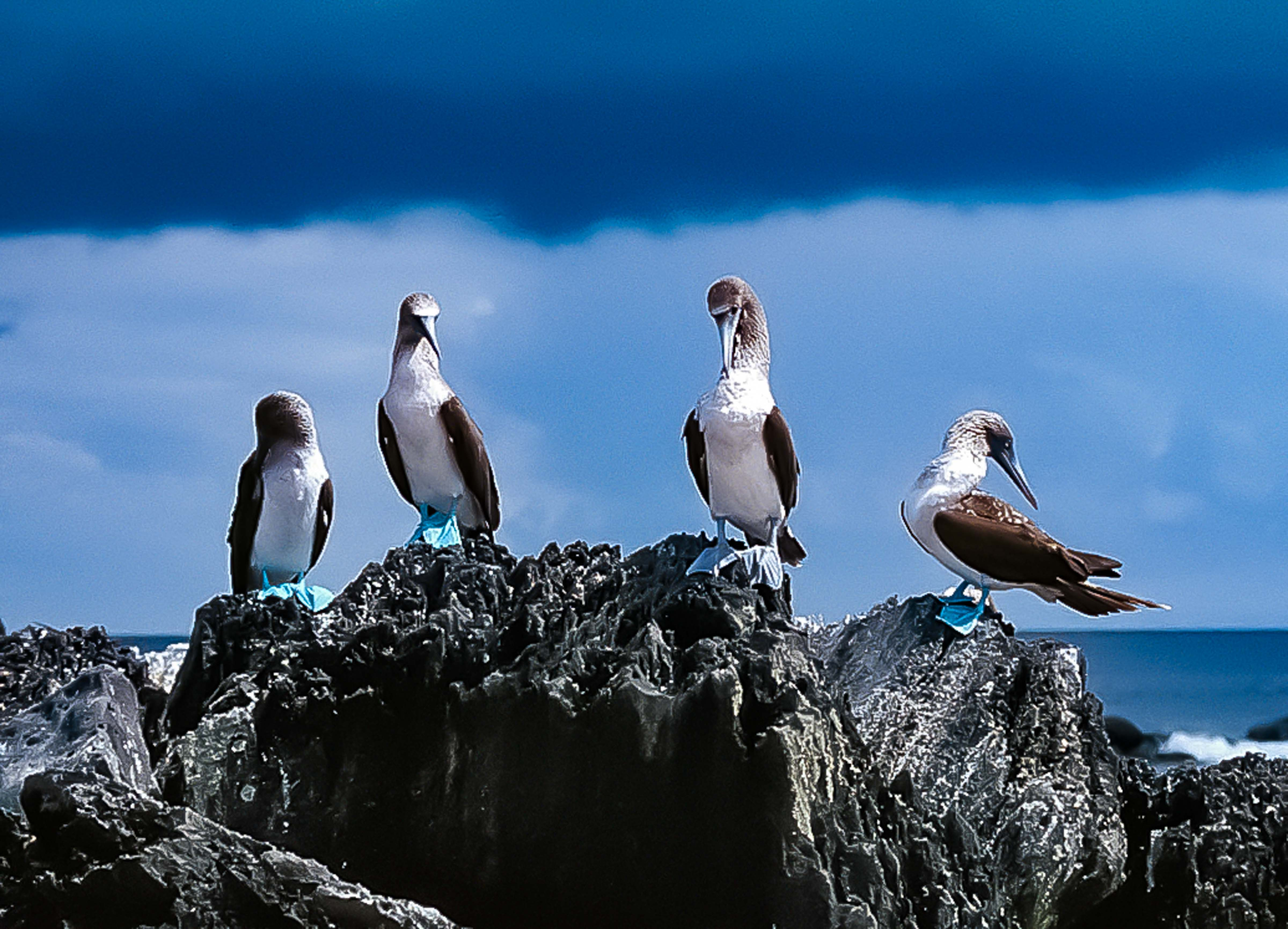 Galapagos, Blue Footed Boobies, 1997