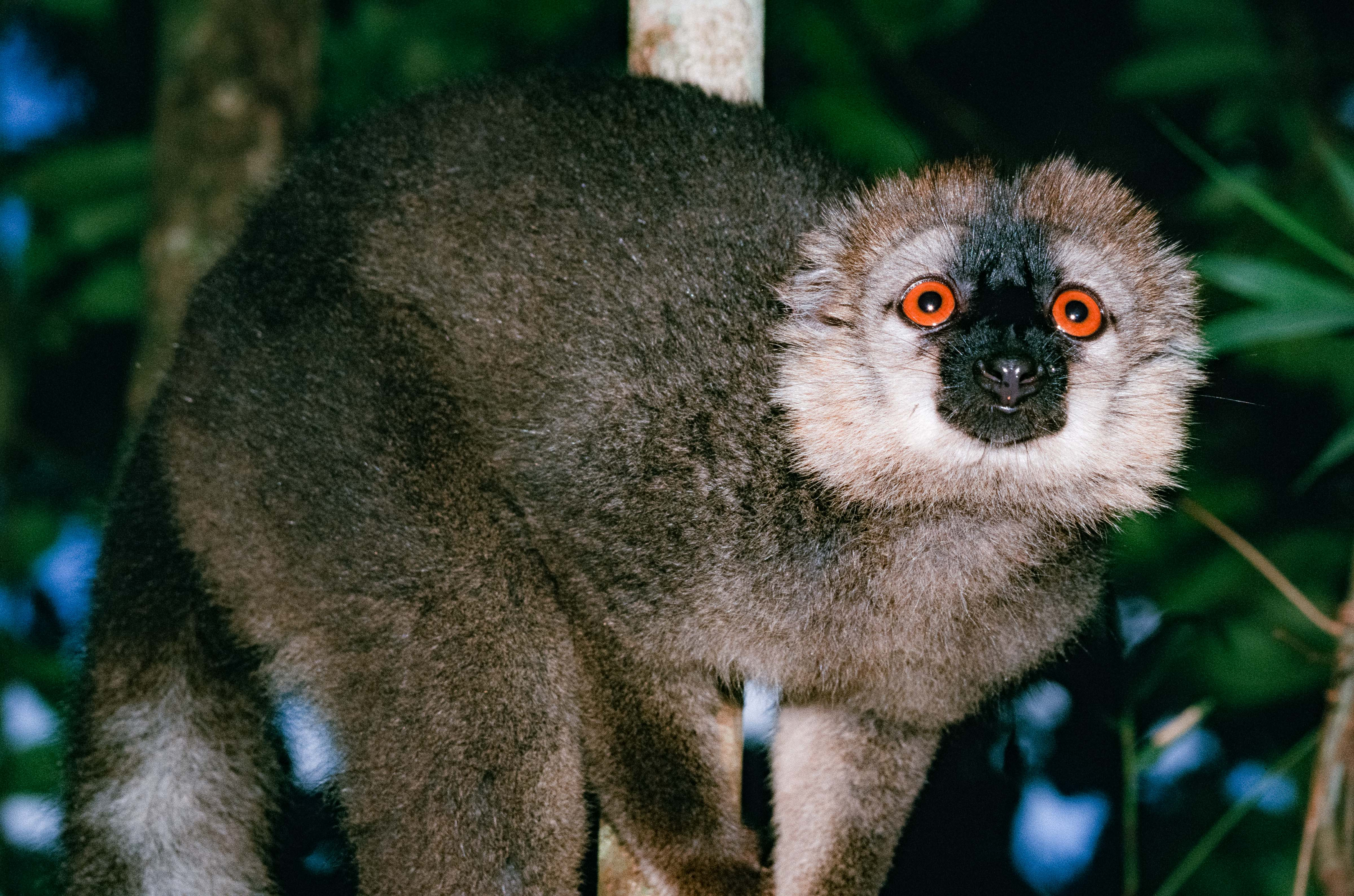 Madagascar, Lemur Close Up, 2003