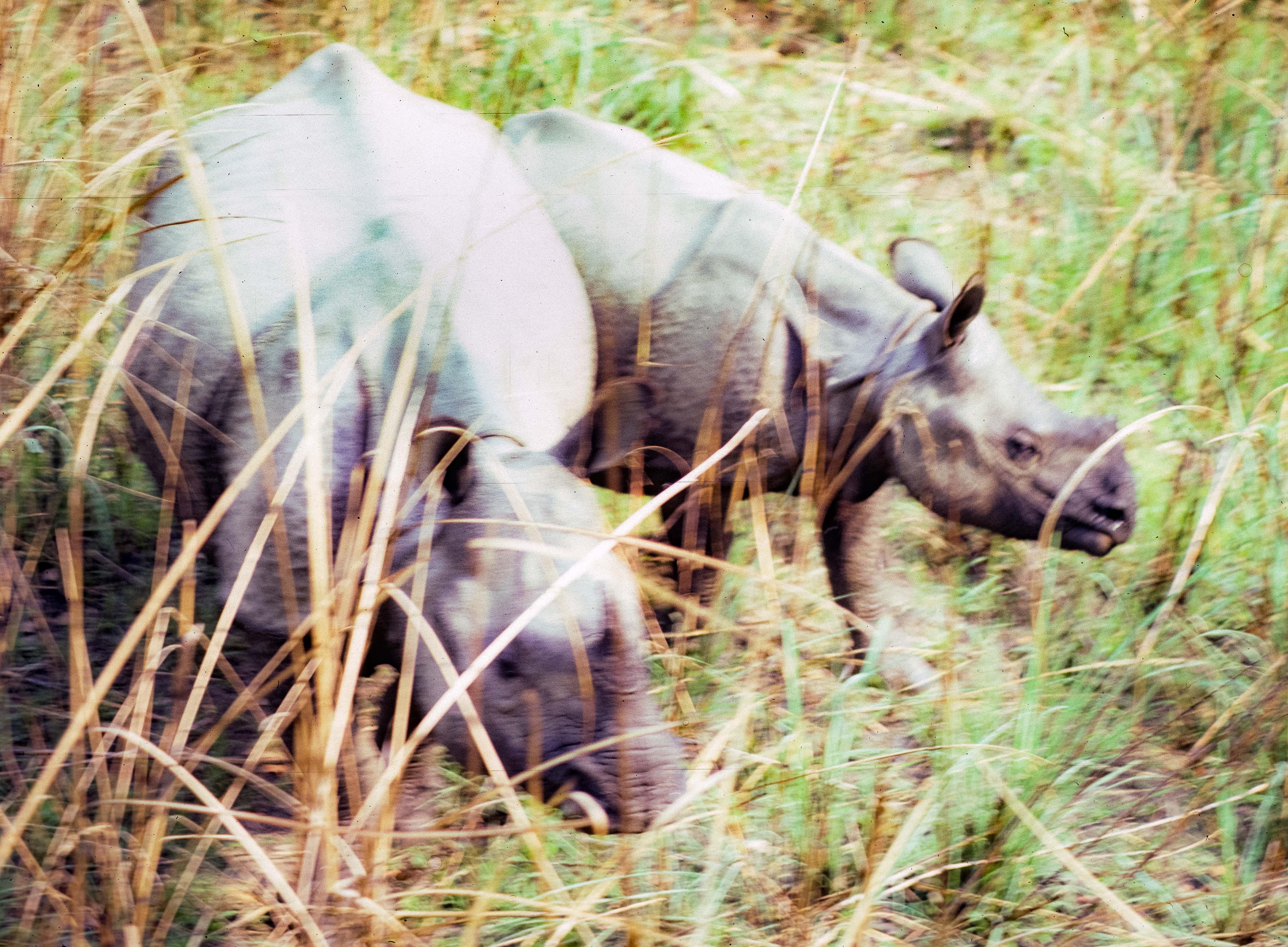 Nepal, Chitwan, Rhinos Below Me, 1984