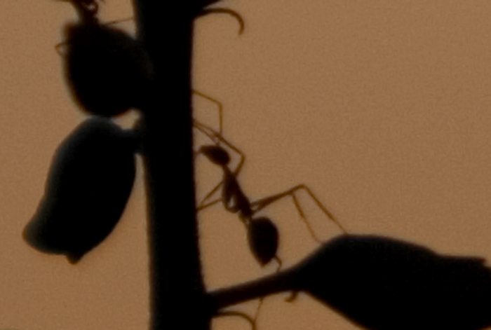 PH, Bukidnon Province, Ant Working At Sunset, 2008, IMG_1226