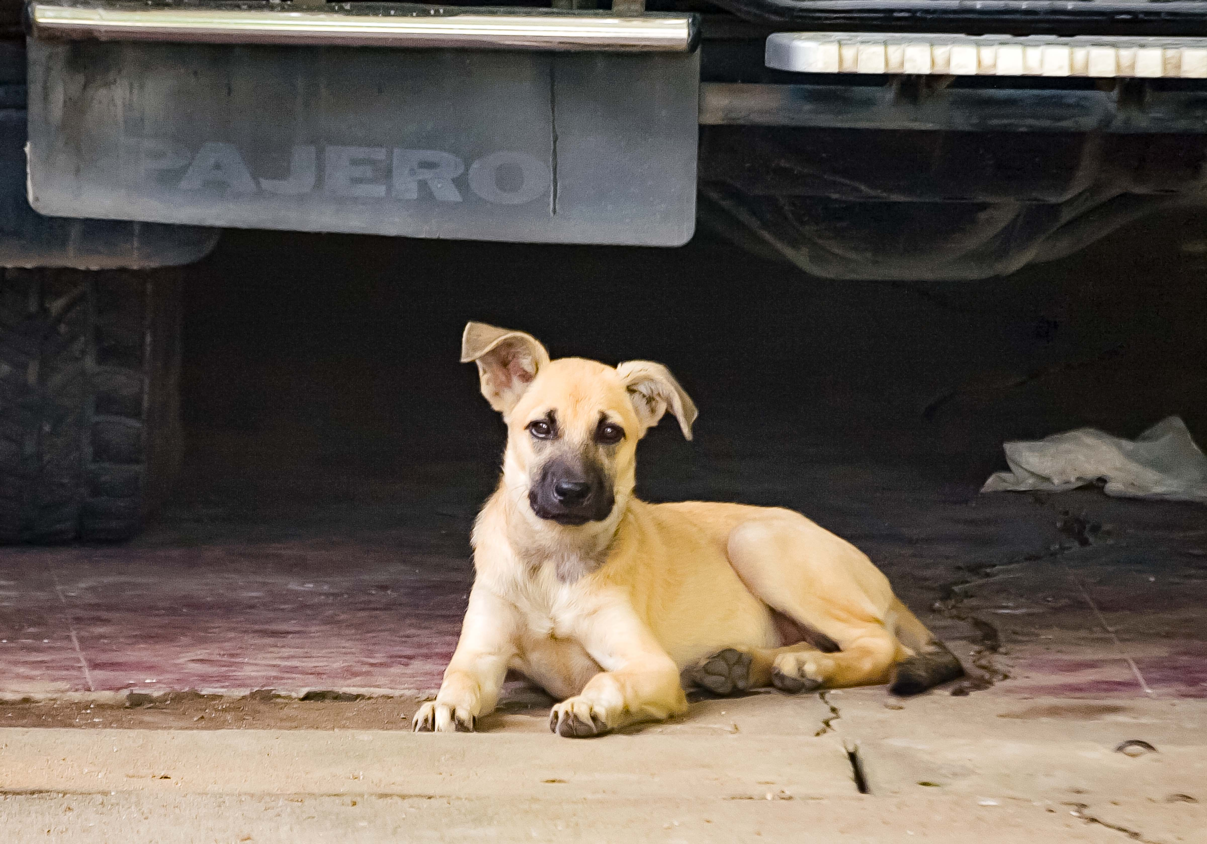 Philippines-Bataan Dog And Car, 2007