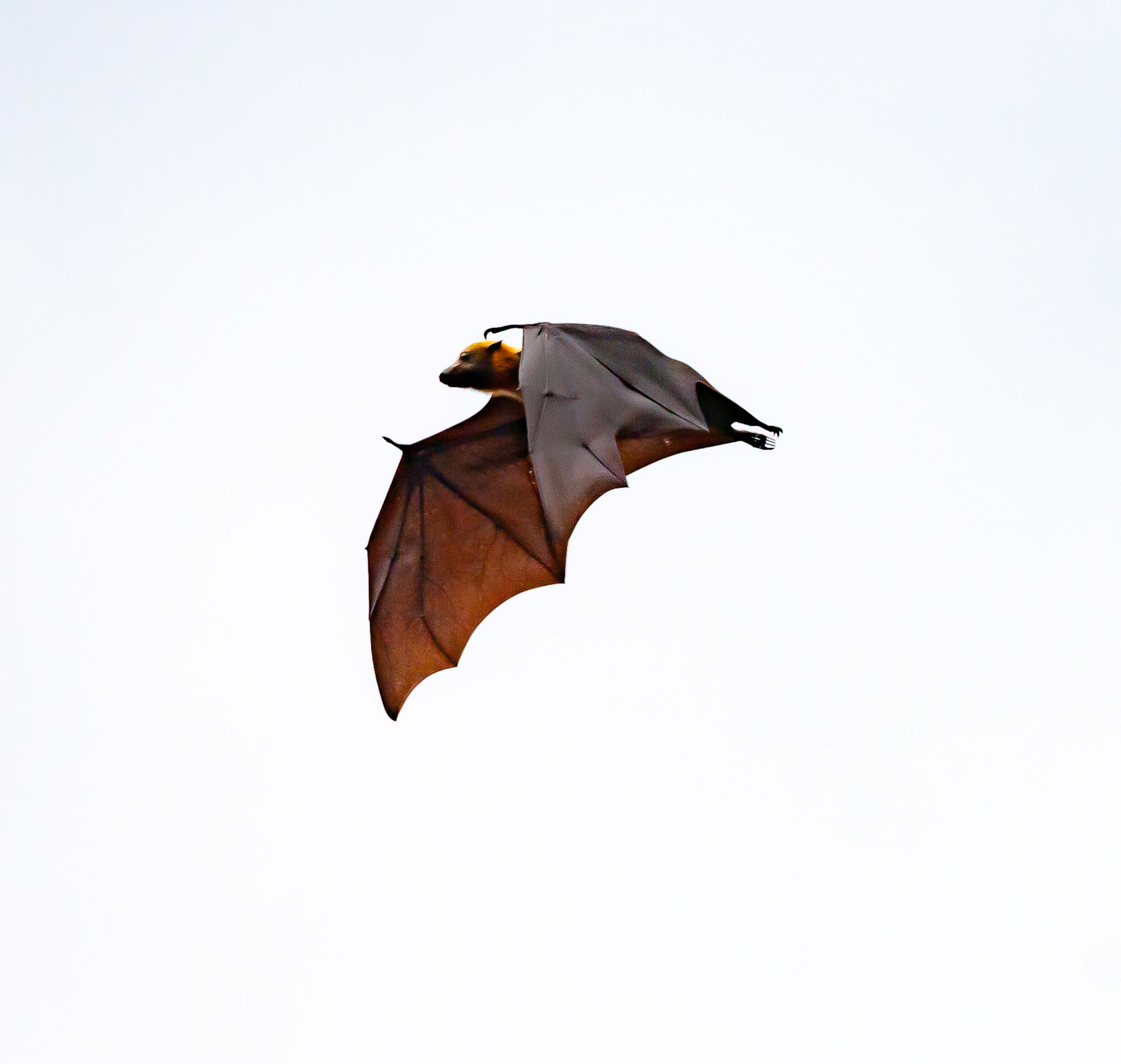 Seram, Kaifin, Flying Fox, 2006