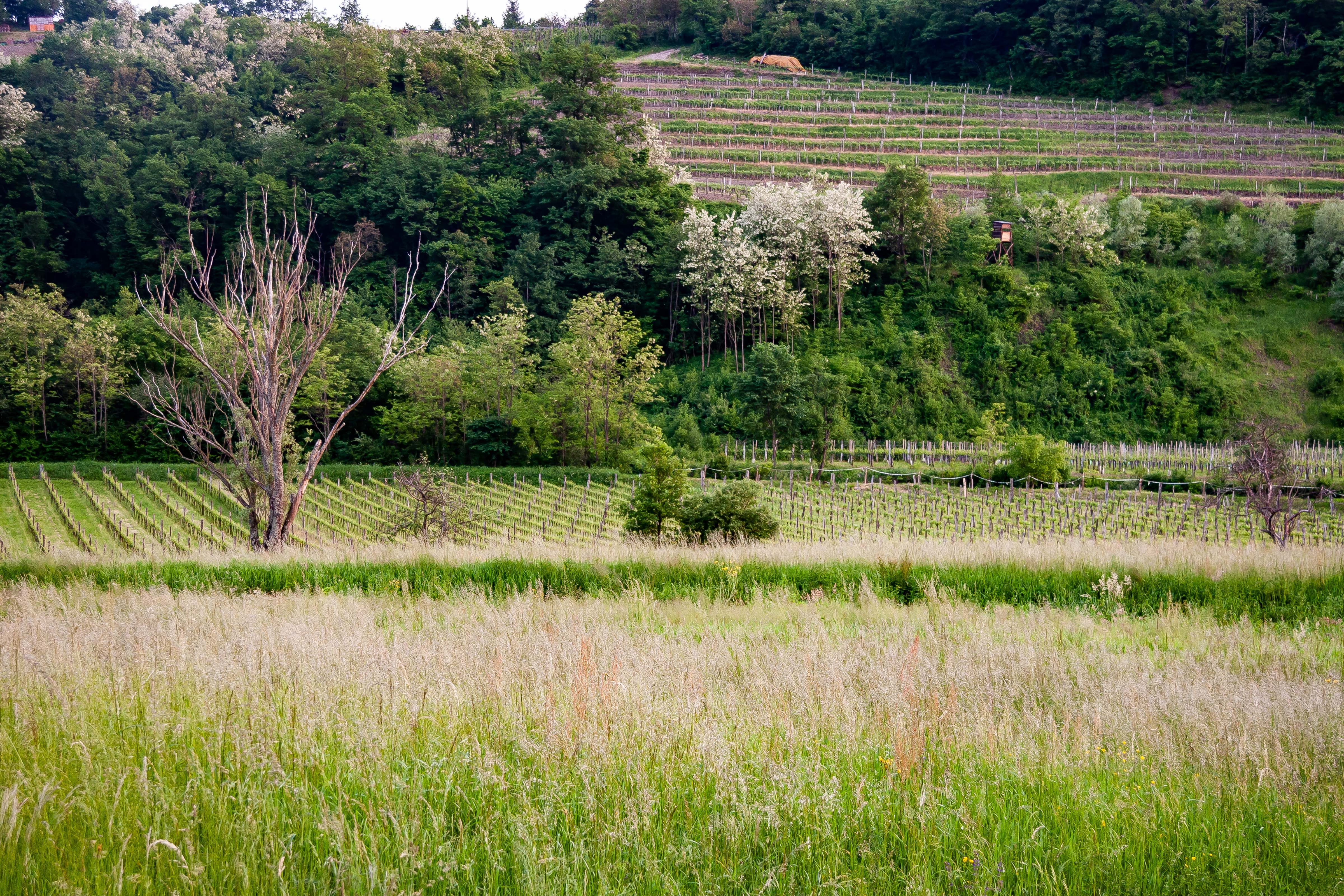 Slovenia, Brda Prov, Vineyards, 2006, IMG 6831