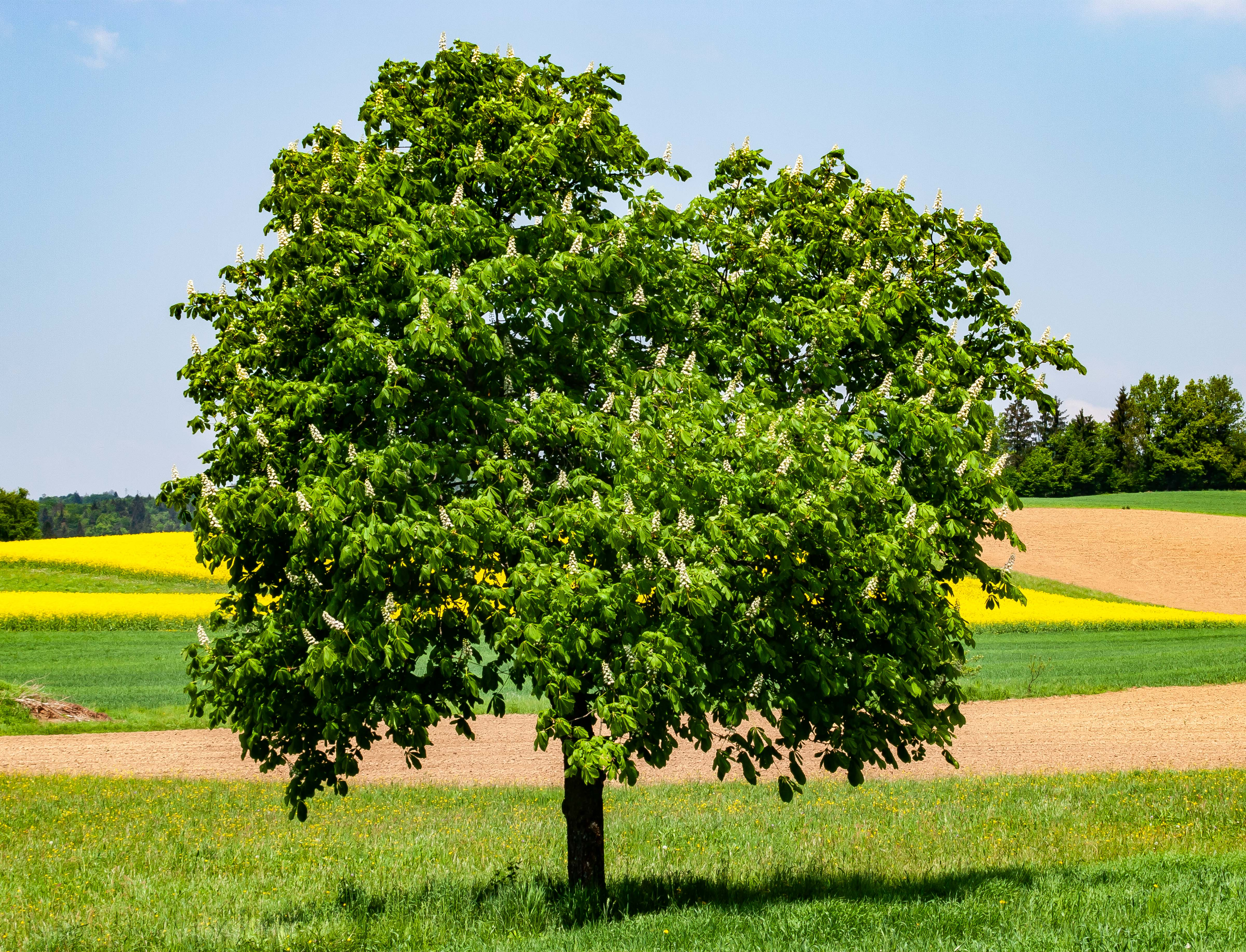 Slovenia, Grosuplje Prov, Tree, 2006, IMG 5738