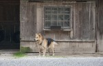 Slovenia,_Kozje_Prov,_Chained_Dog,_2006,_IMG_8004