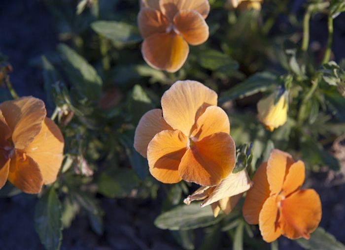 Slovenia, Krsko Prov, Orange Petaled Flowers, 2006, IMG 7673