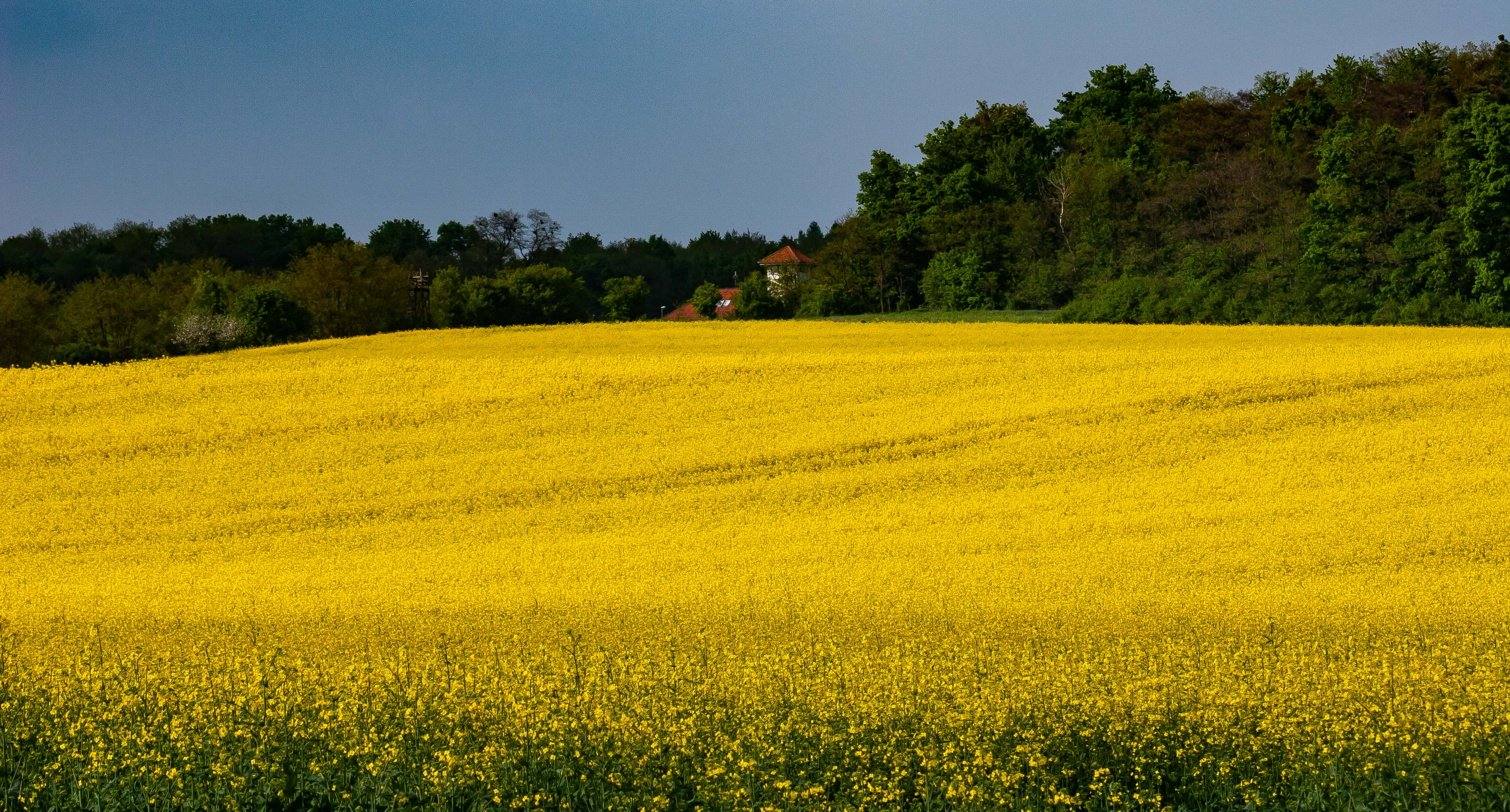 Slovenia, Moravske Toplice Prov, Field Of Yellow, 2006, IMG 5211