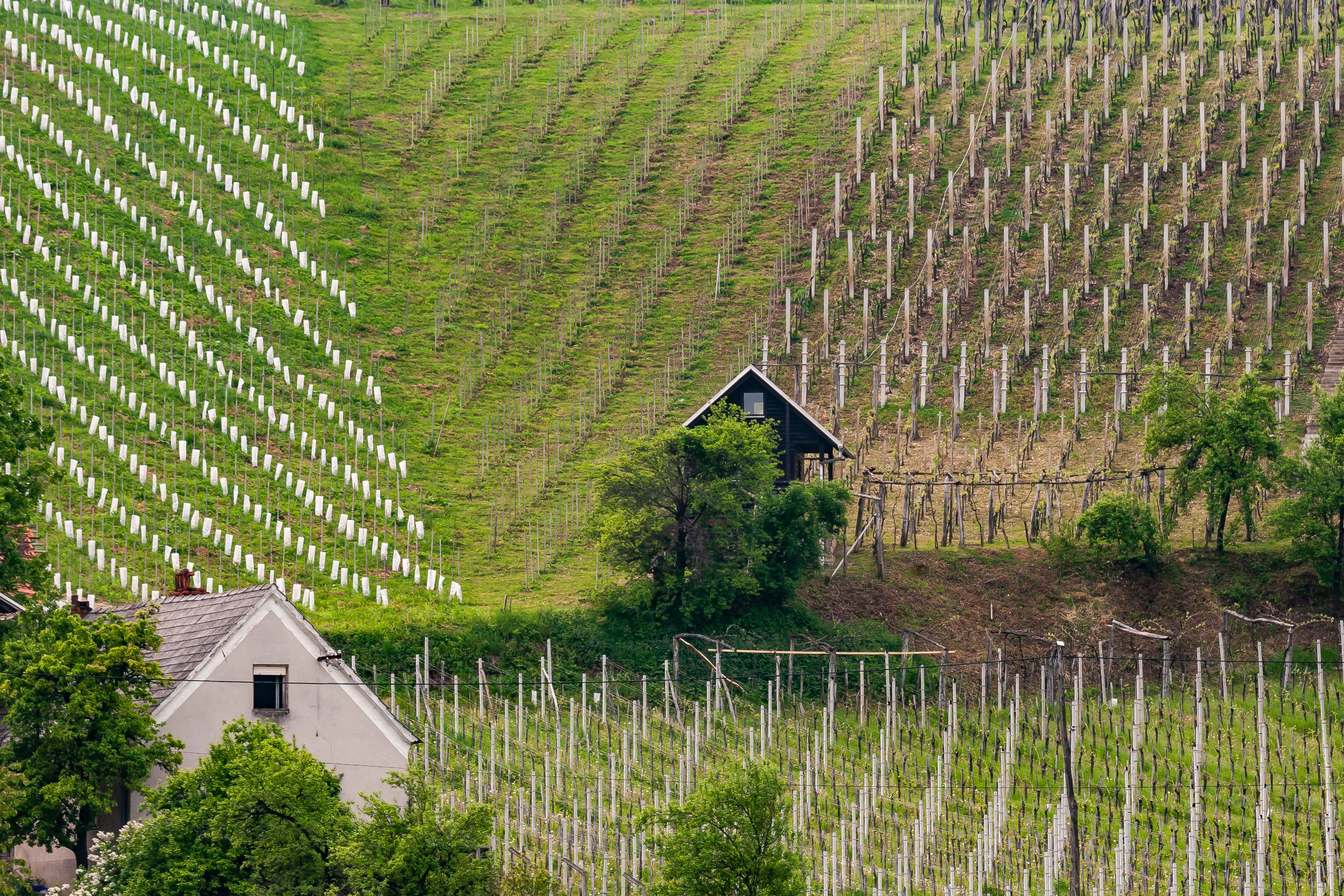 Slovenia, Oplotnica Prov, Vineyards, 2006, IMG 5653