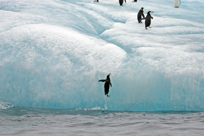 South Sandwich Is, Penguin Jumping Up On Iceberg, 2006