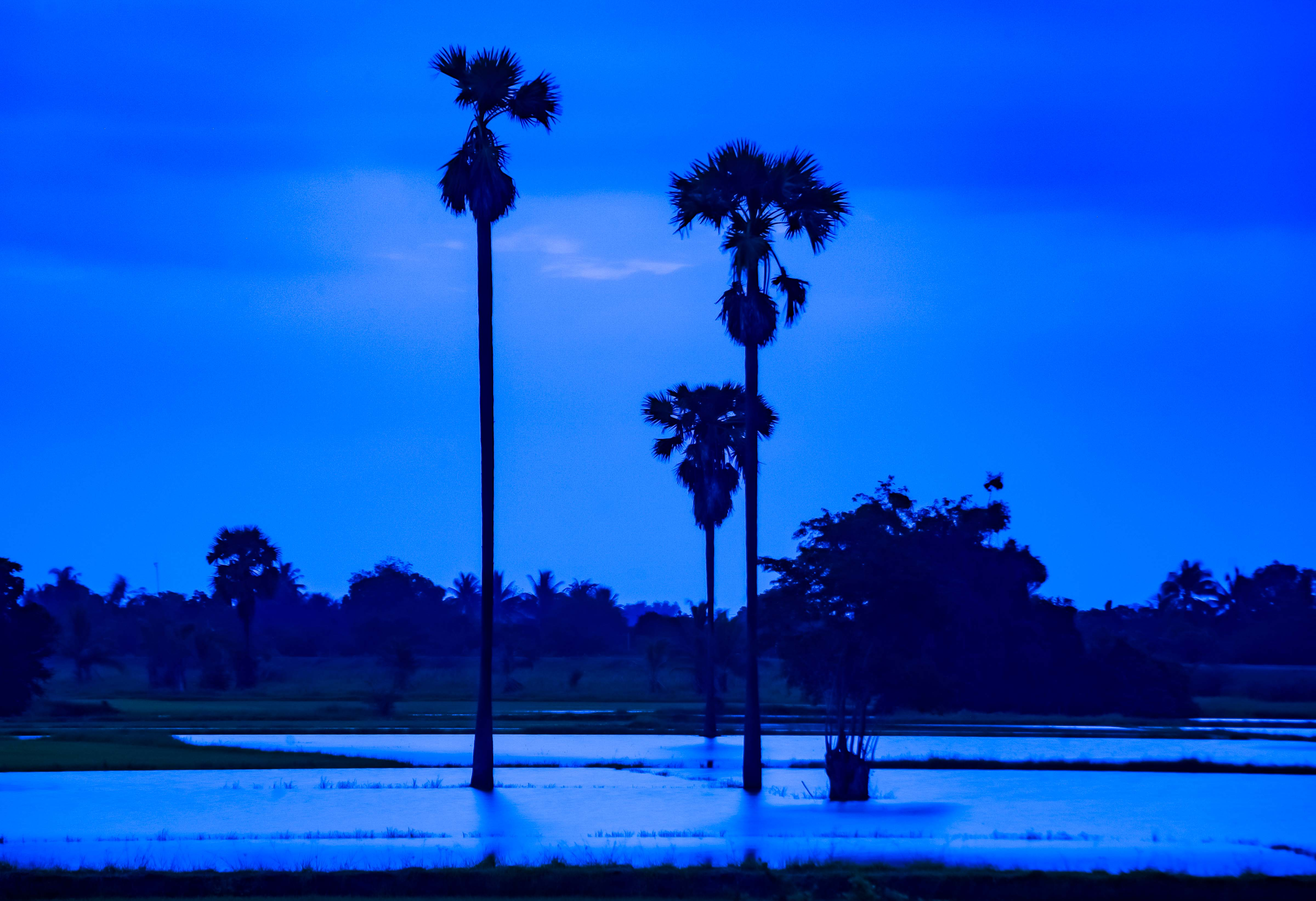 Thailand, Chai Nat Province, Palm Trees In Water, 2008, IMG_3158