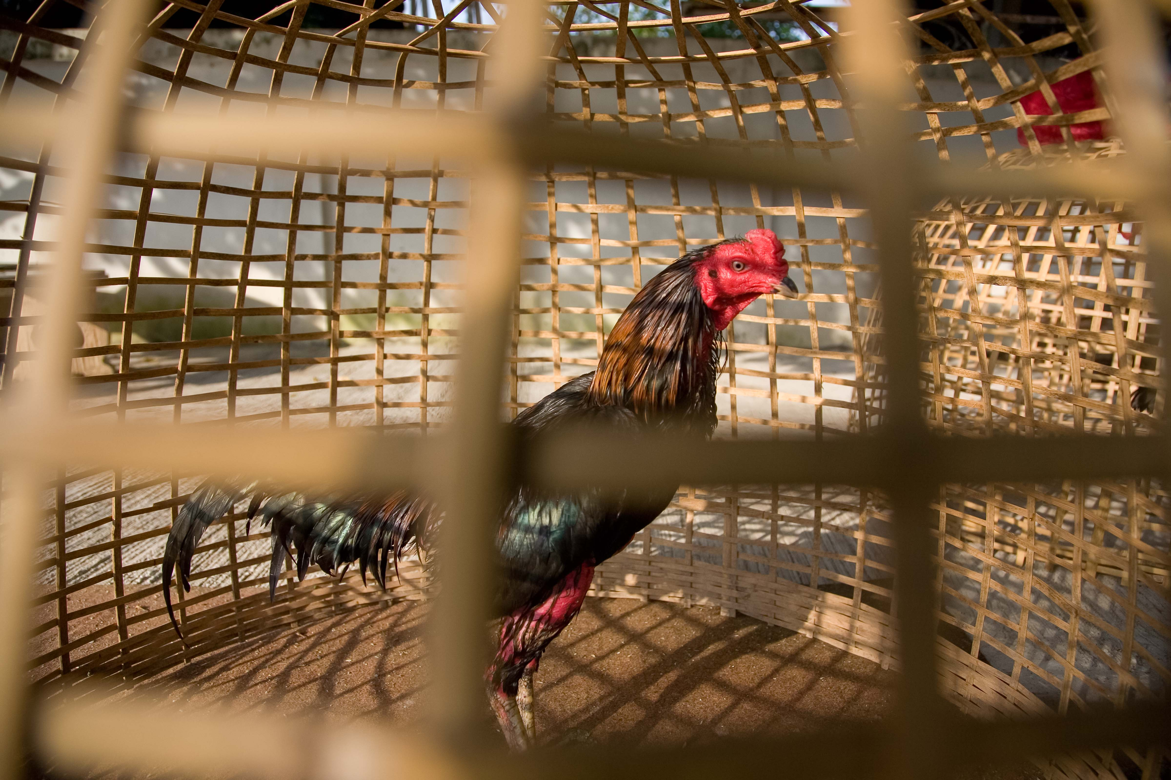 Thailand, Lamphun Province, Caged Rooster, 2008, IMG_4008