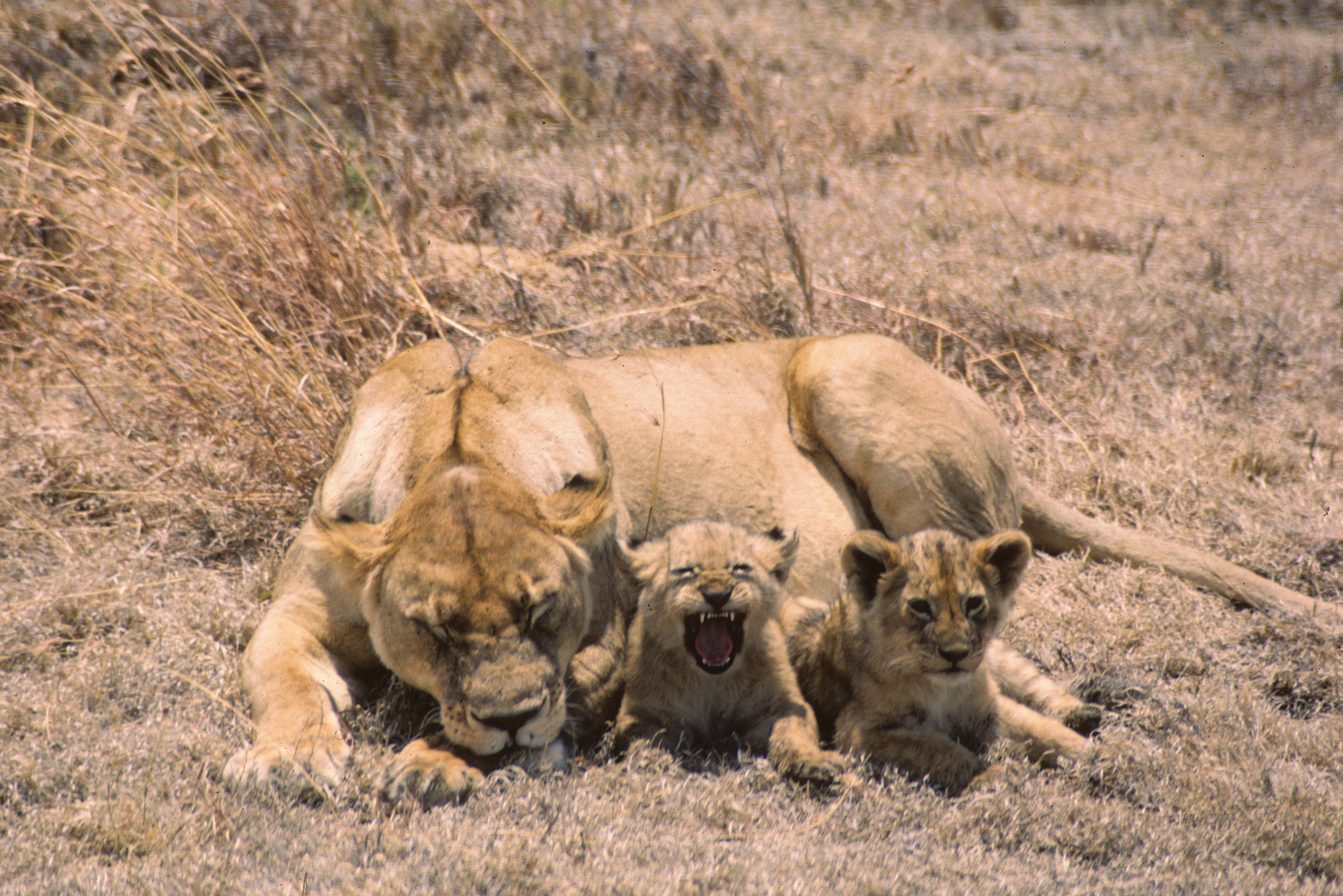 Tanzania, Lioness and Cubs, 1984