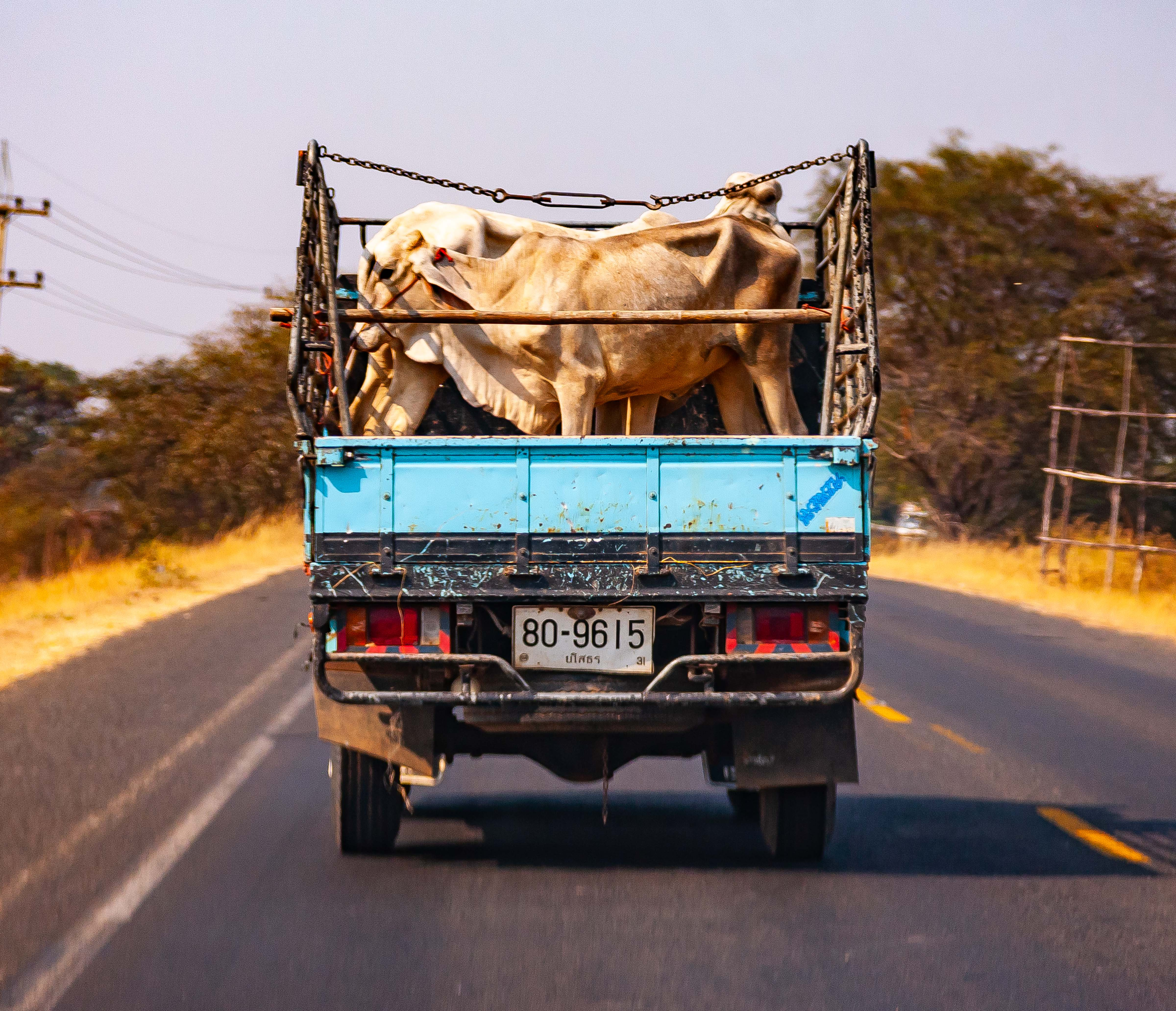 Thailand, Yasothon Prov, Cow In Truck, 2008, IMG 0582
