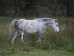 UK,_Caerphilly_Prov,_Gray_Horse,_2009,_IMG_4964