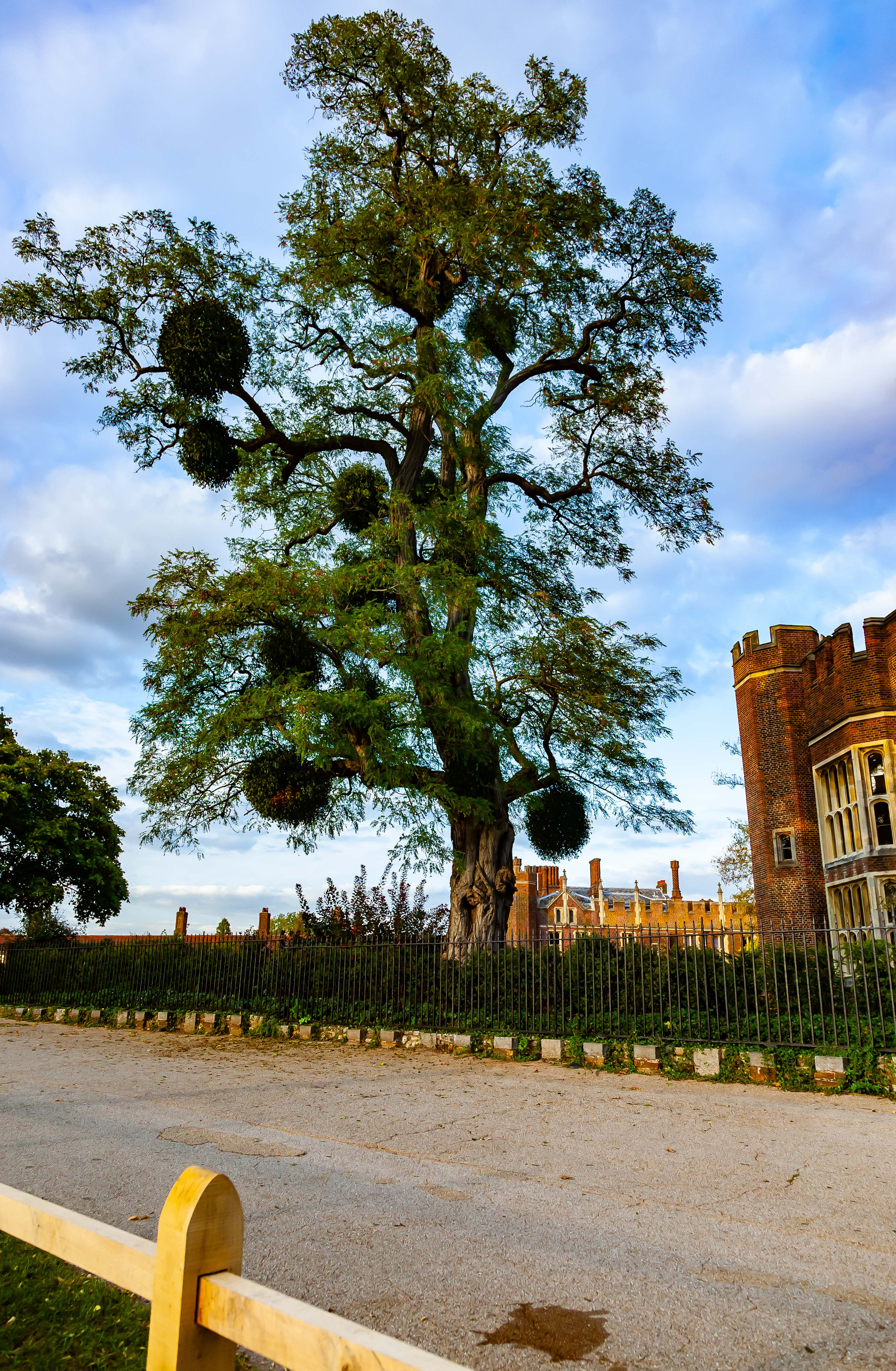 UK, Kingston upon Thames (London) Prov, Hampton Court Palace Tree, 2009, IMG 3798