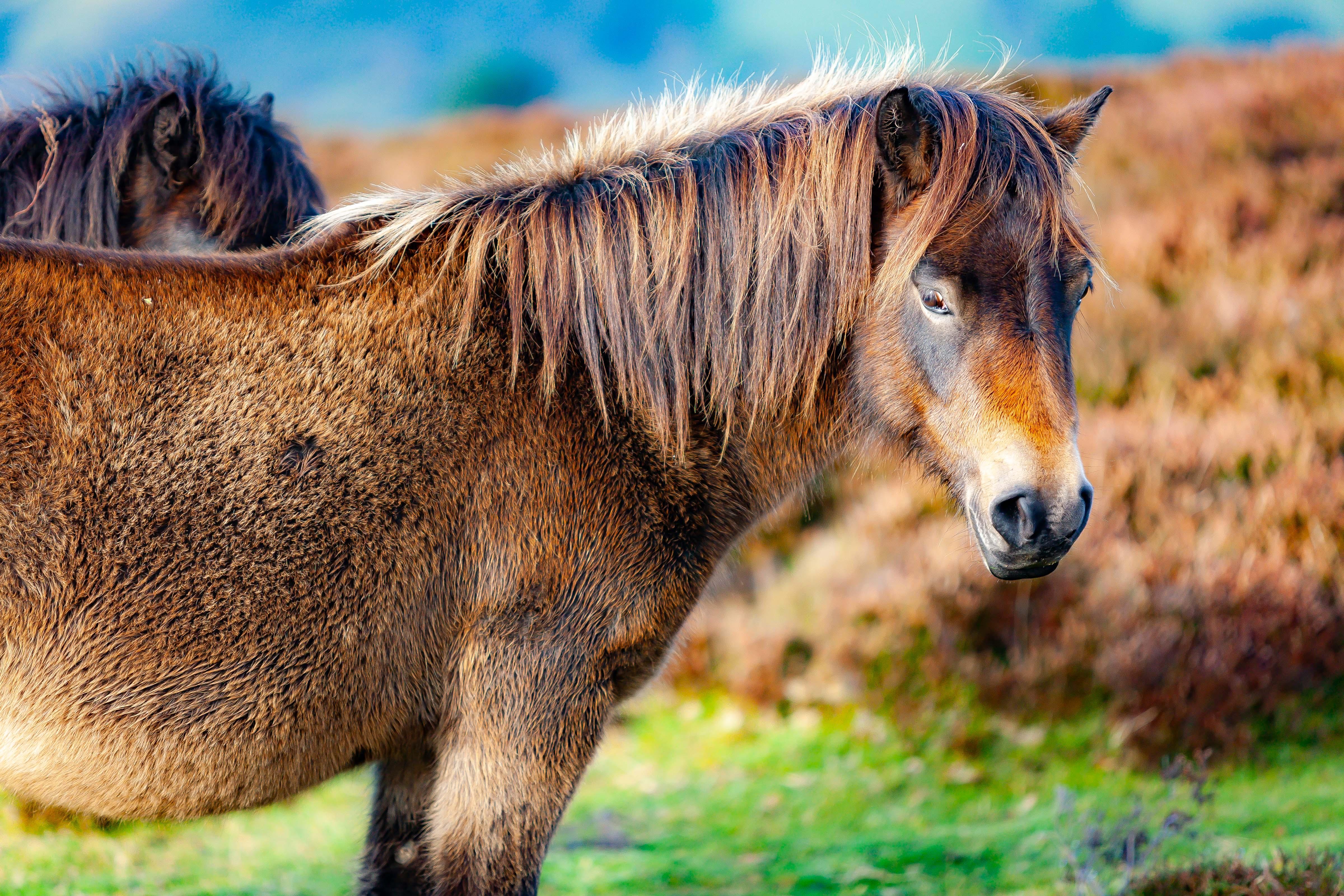UK, Somerset Prov, Pony, 2009, IMG 4736