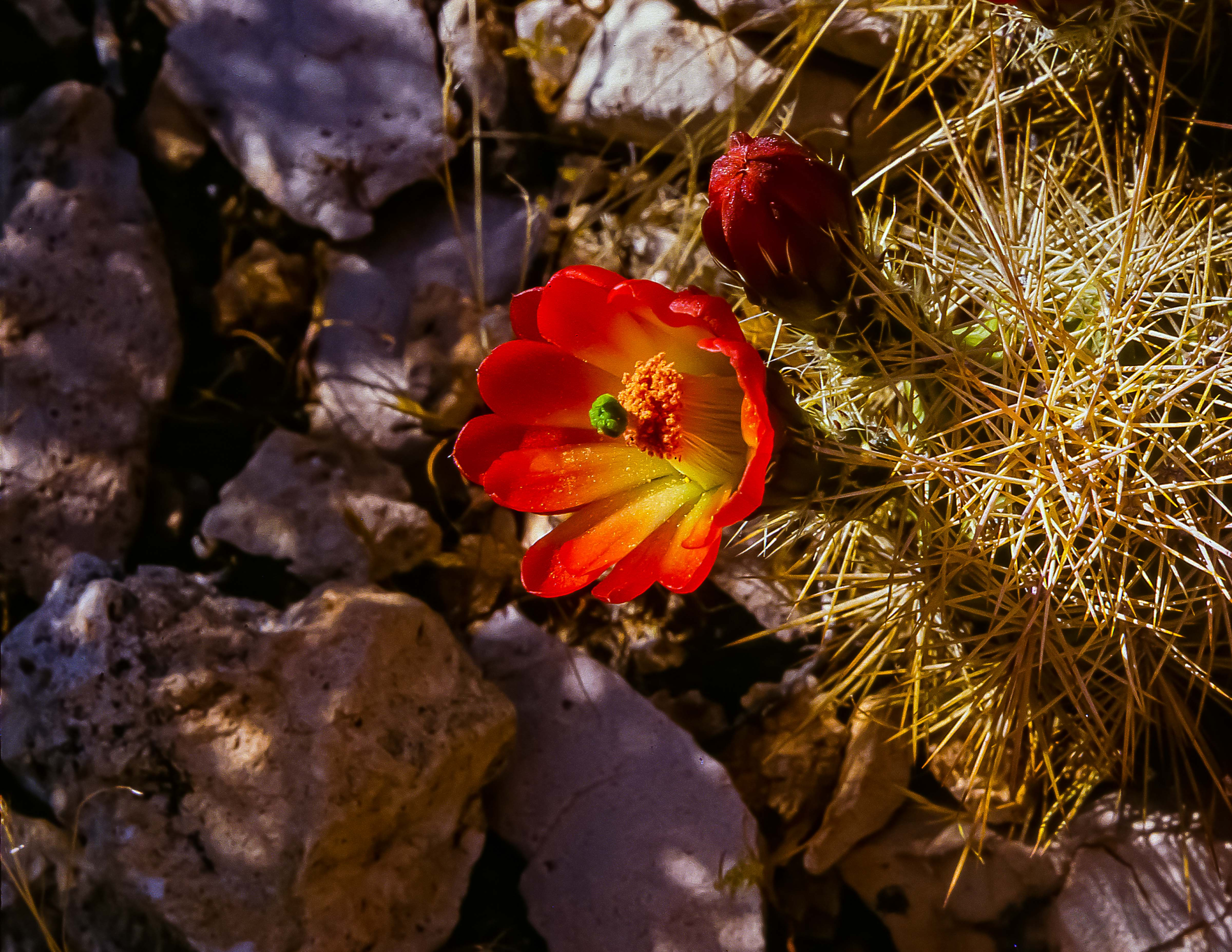 USA, AZ, Grand Canyon, Red Cactus Flower, 1988