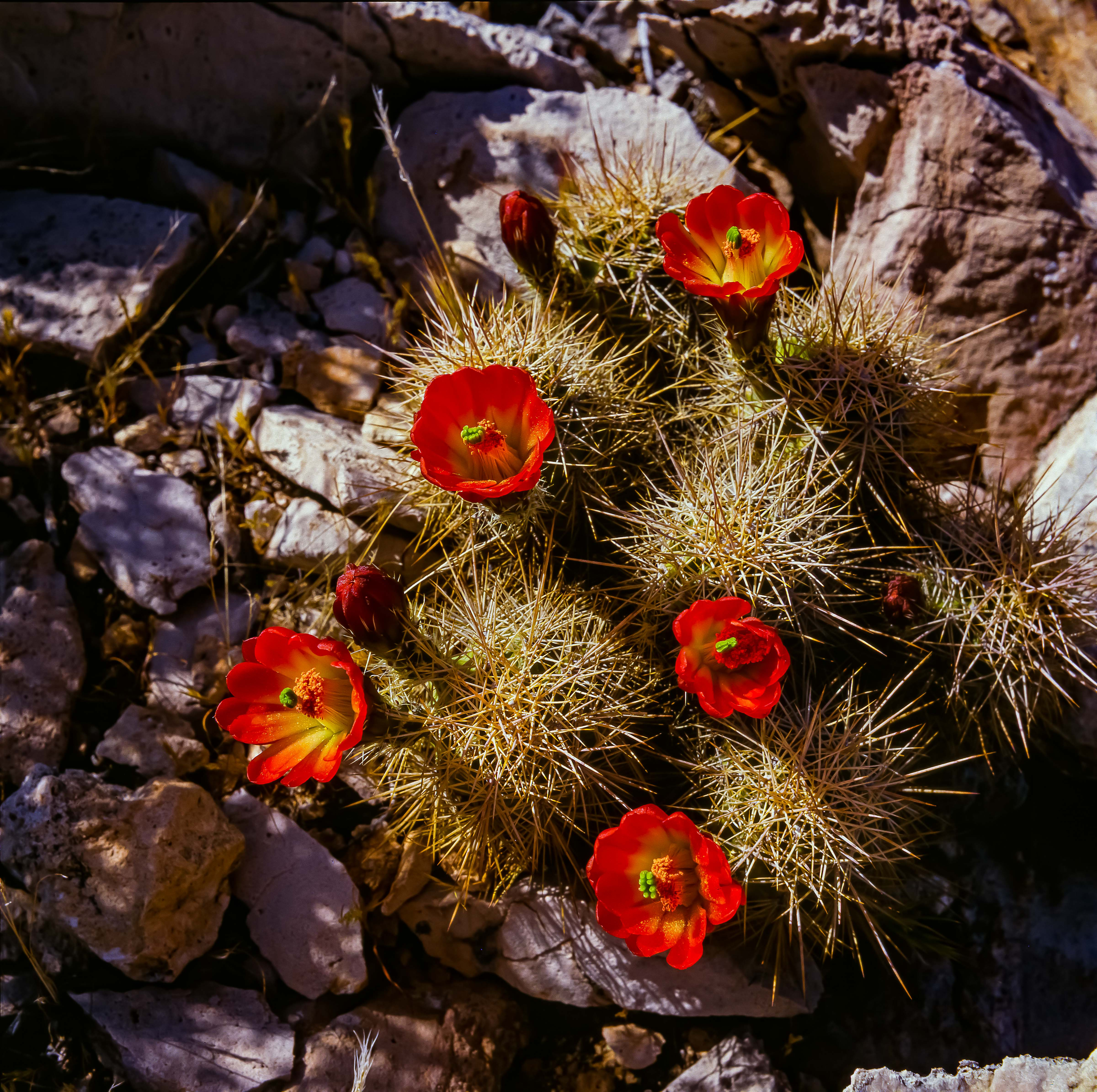 USA, AZ, Grand Canyon, Red Cactus Flowers, 1988