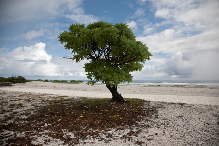 USA, Wake Island, Tree, 2009, IMG 2910 2917