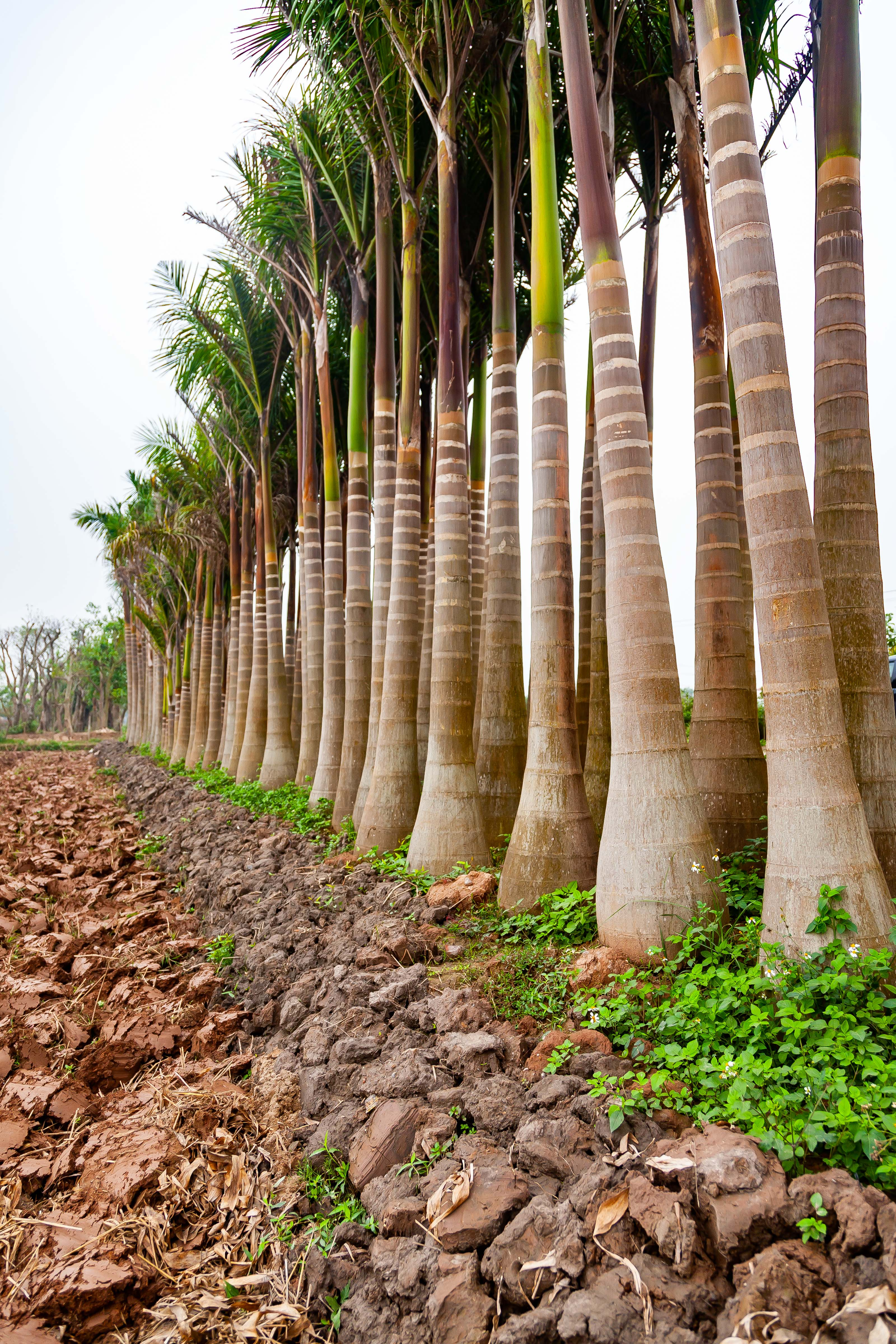 Vietnam, Thai Binh Prov, Bottle Trees, 2010, IMG 3659