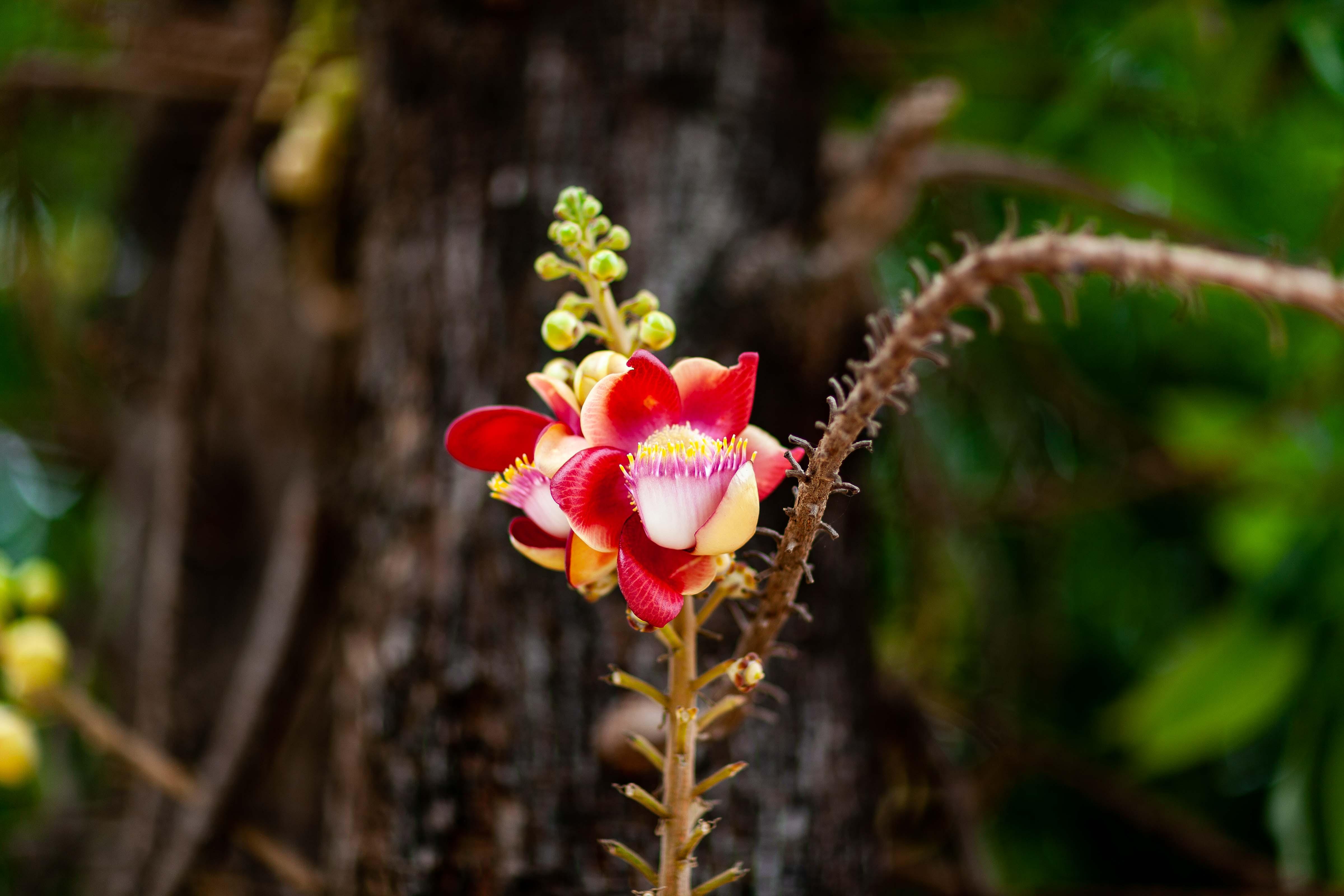 Cambodia, Baat Dambang Prov, Lotus Flower, 2009, IMG 9663