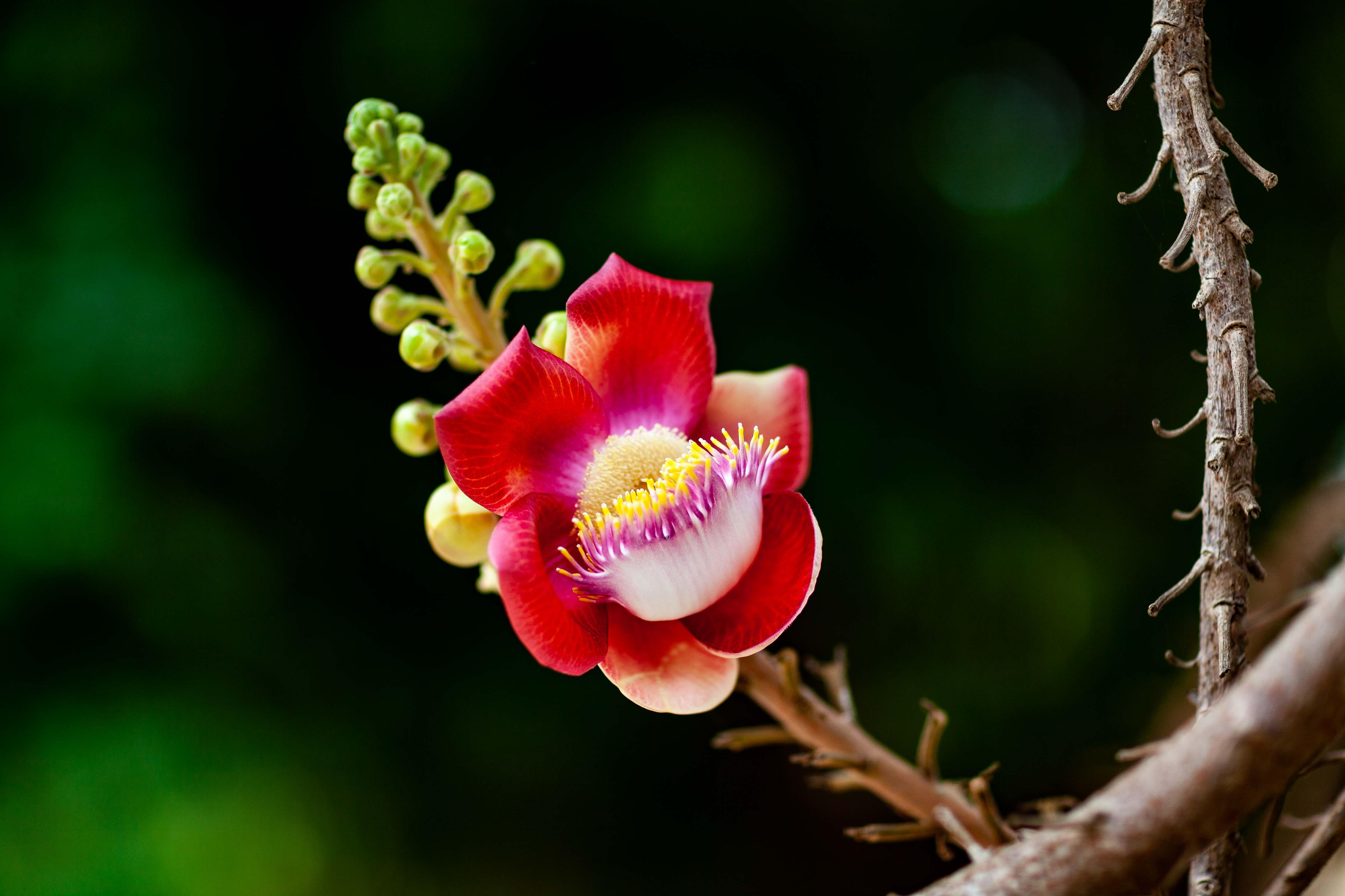 Cambodia, Baat Dambang Prov, Lotus Flower, 2009, IMG 9668