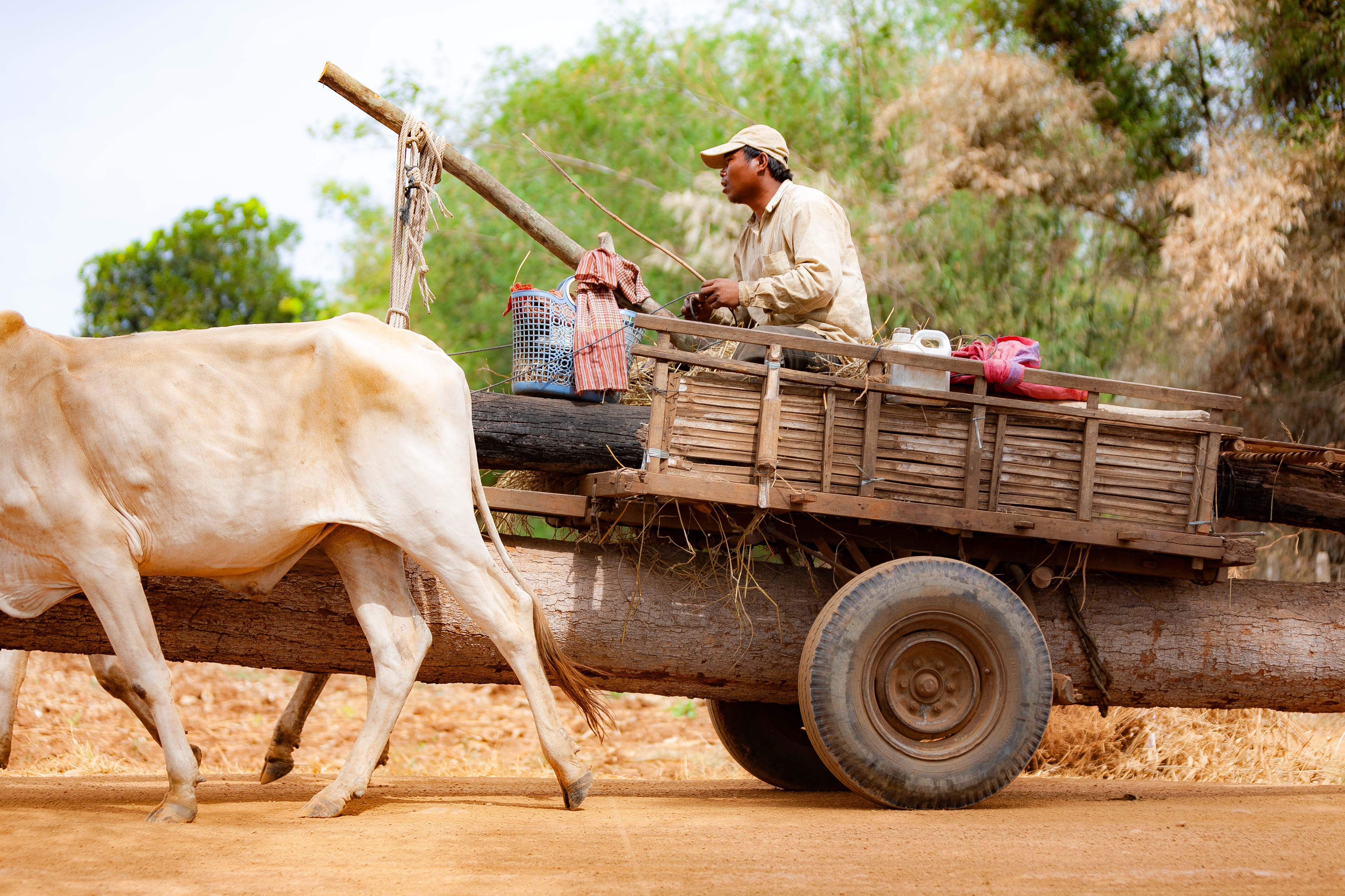 Cambodia, Kampong Chaam Prov, Cow Drawn Logging Cart, 2010, IMG 5423