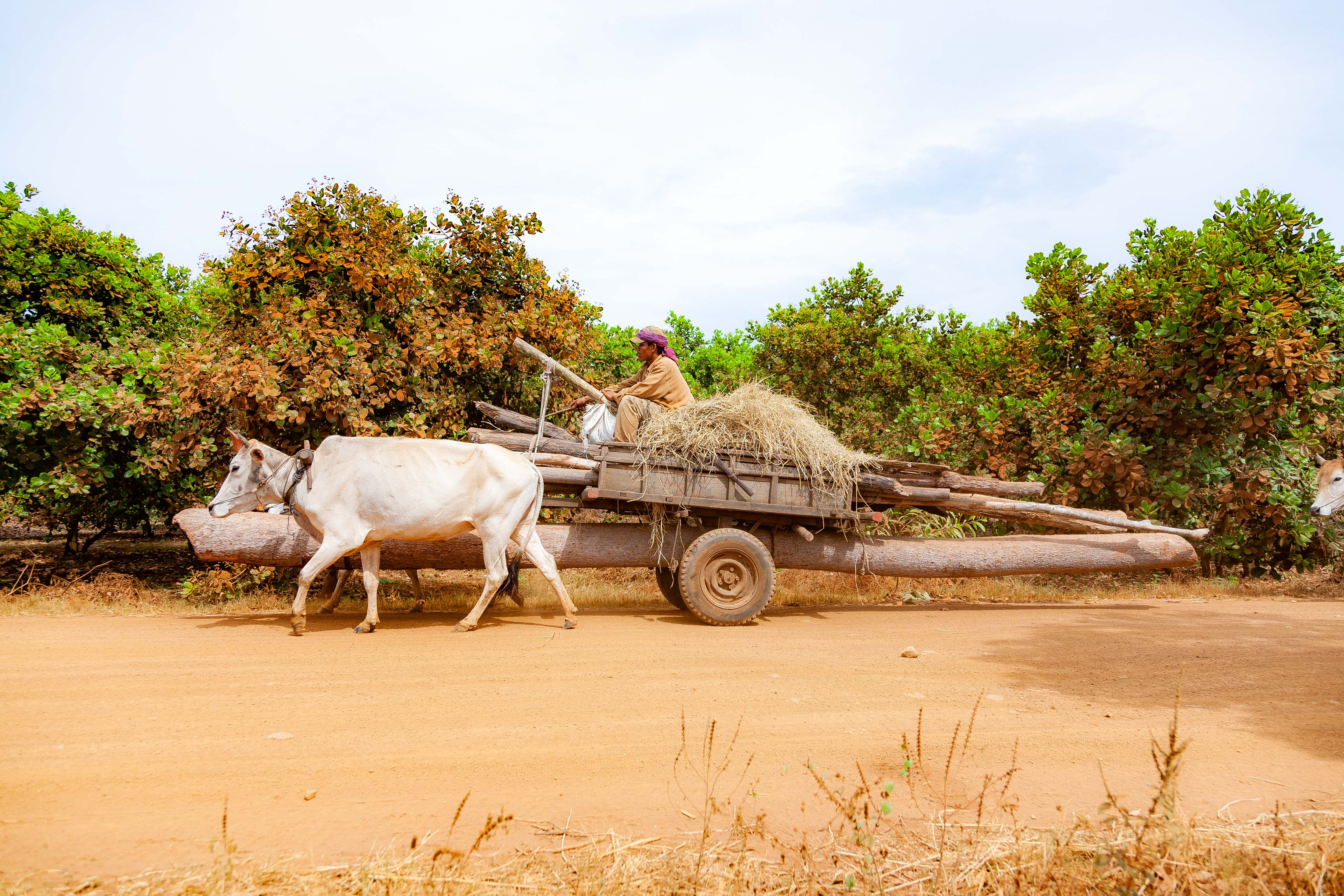 Cambodia, Kampong Chaam Prov, Cow Drawn Logging Cart, 2010, IMG 5430