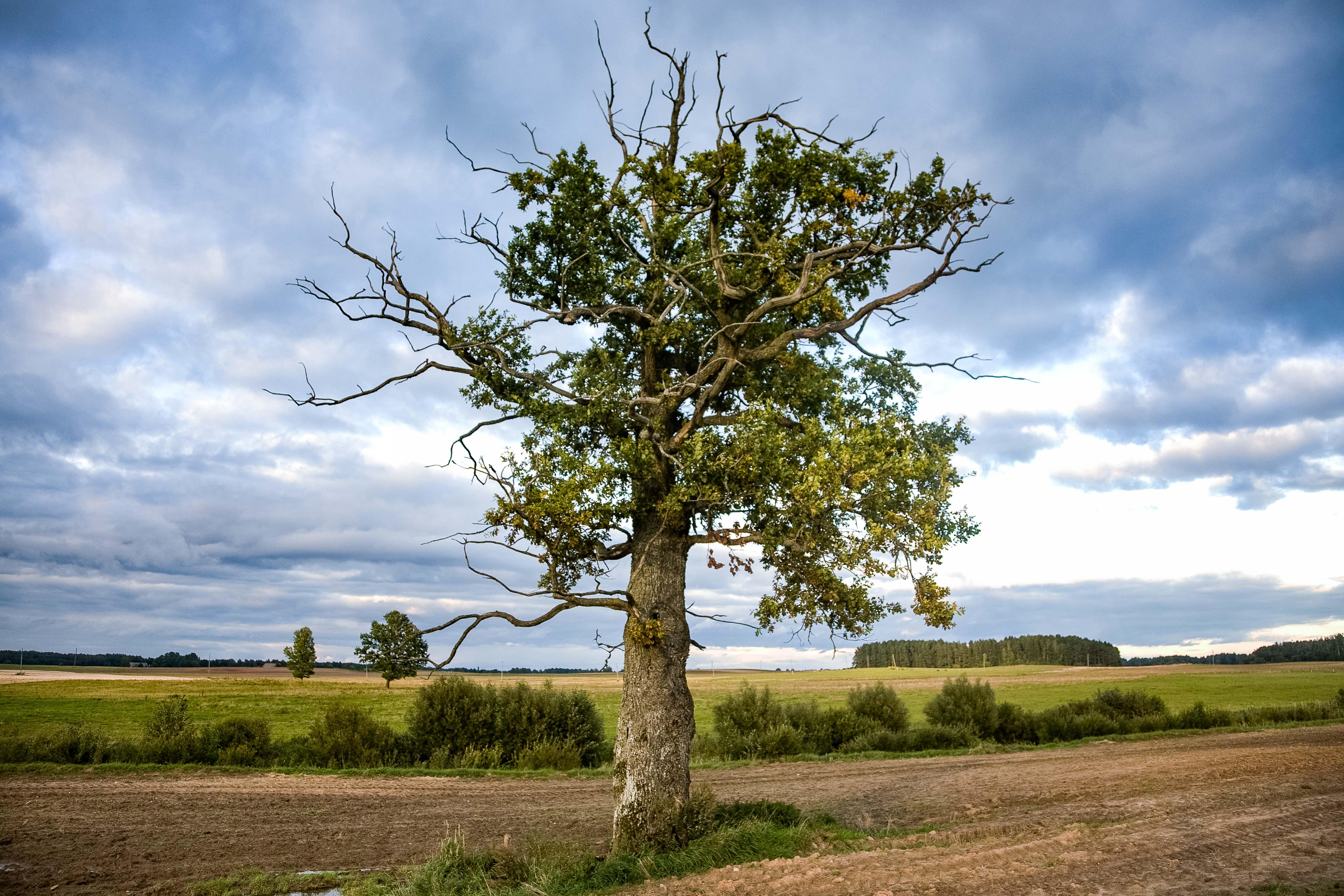 Latvia, Kuldiga Prov, Tree, 2010, IMG_2423