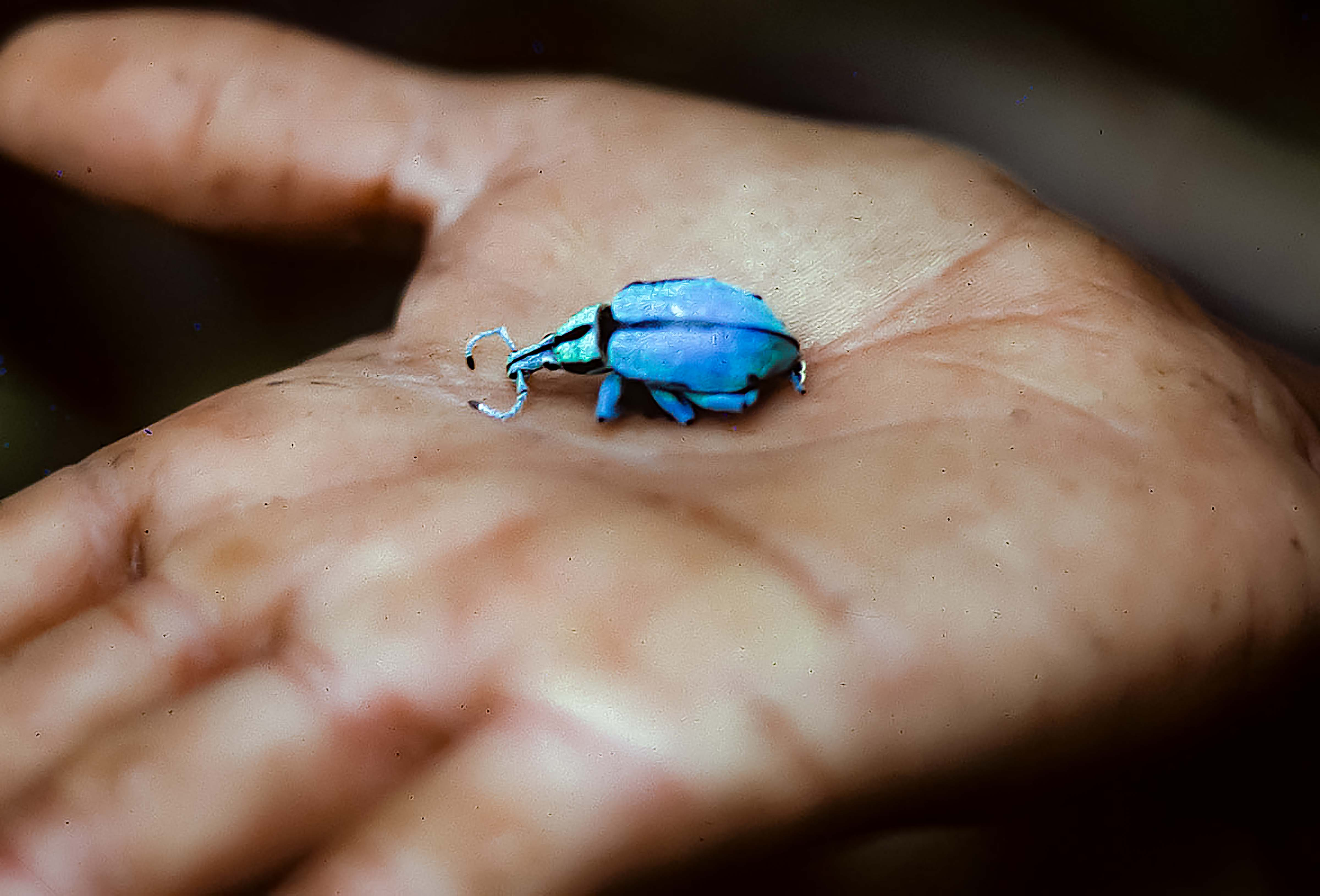 Papua New Guinea, Blue Weevil, 1983