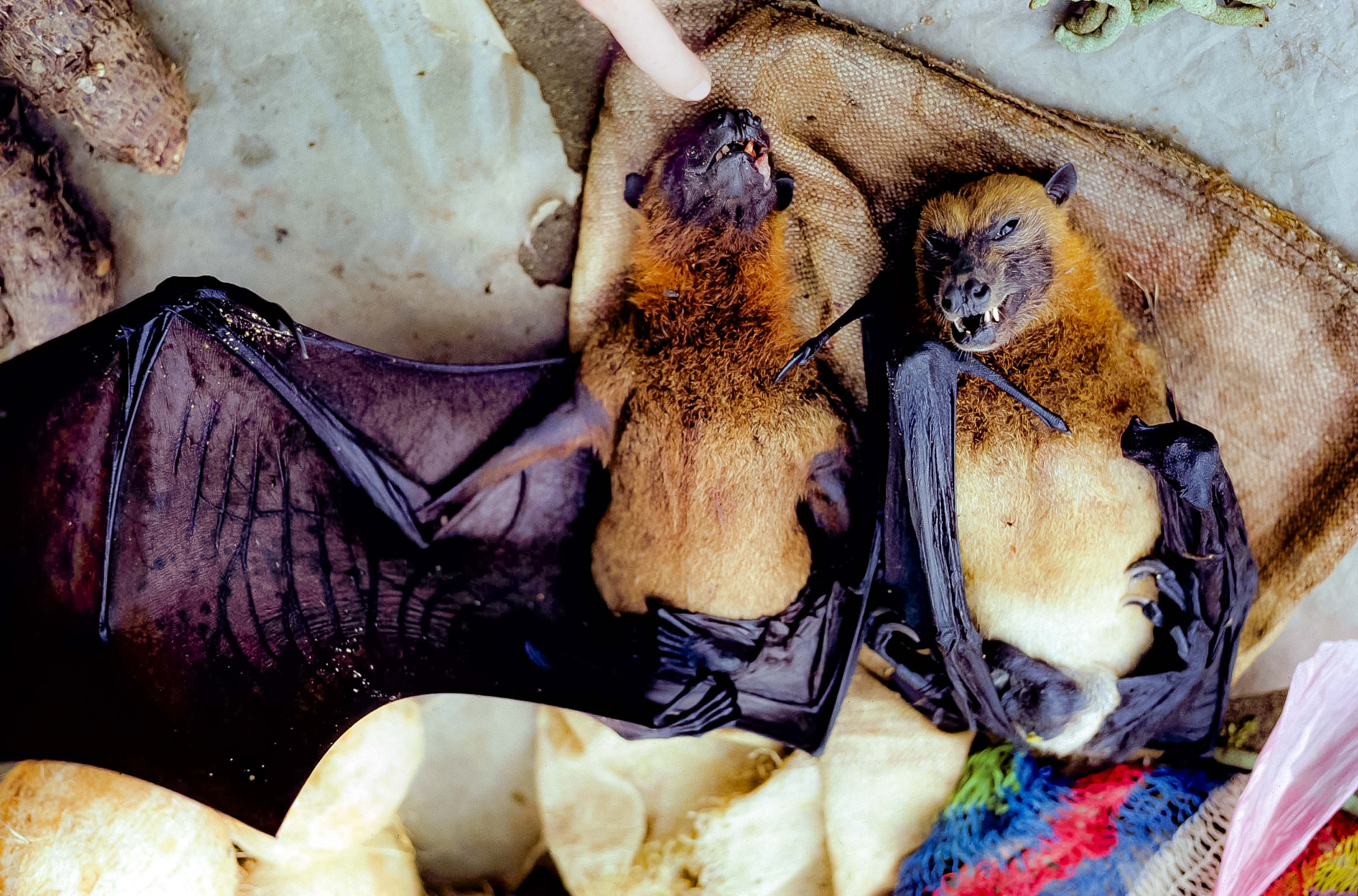 Papua New Guinea, Flying Foxes At Market, 1983