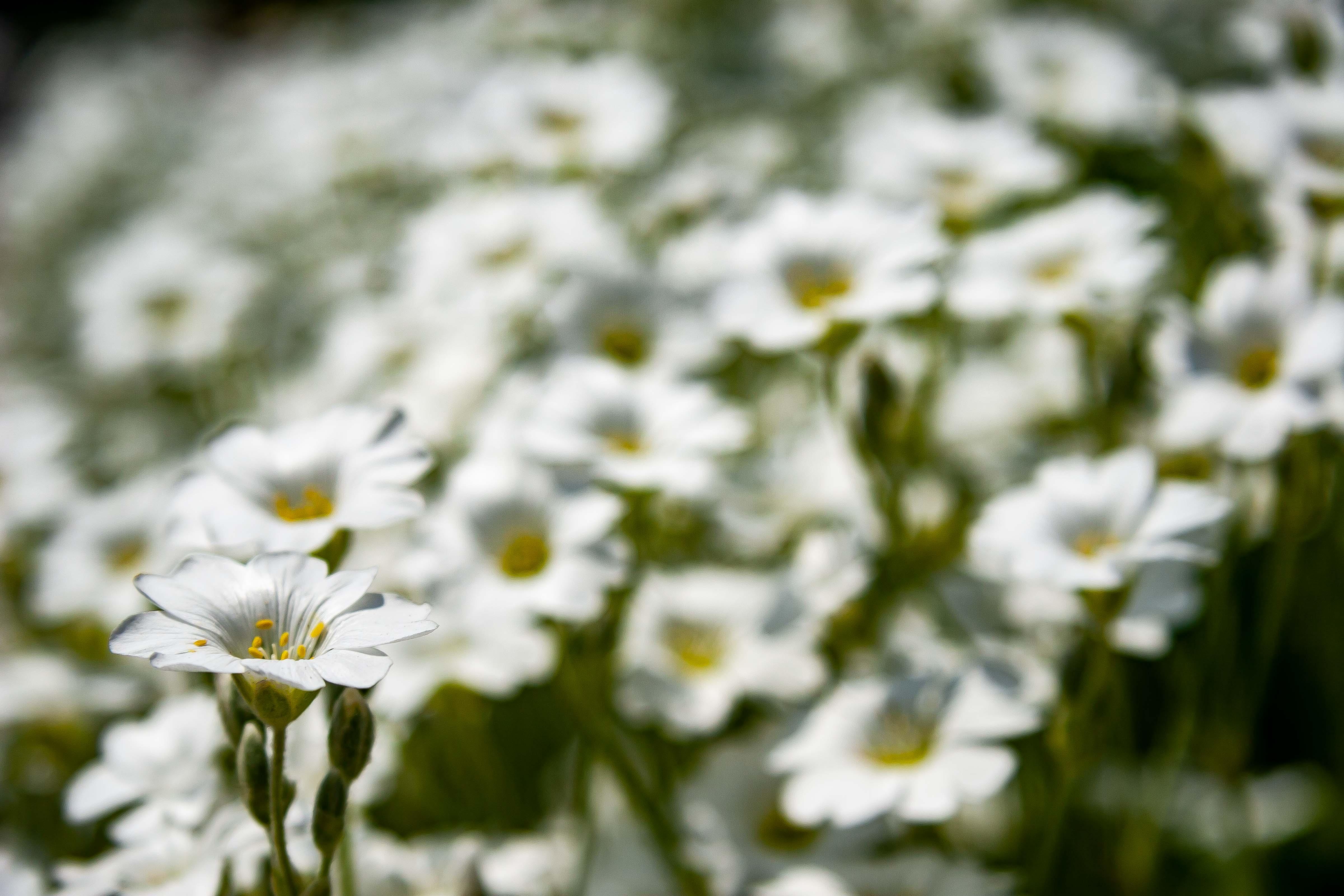 Slovenia, Slovenj Gradec Prov, White Flower, 2006, IMG 8526