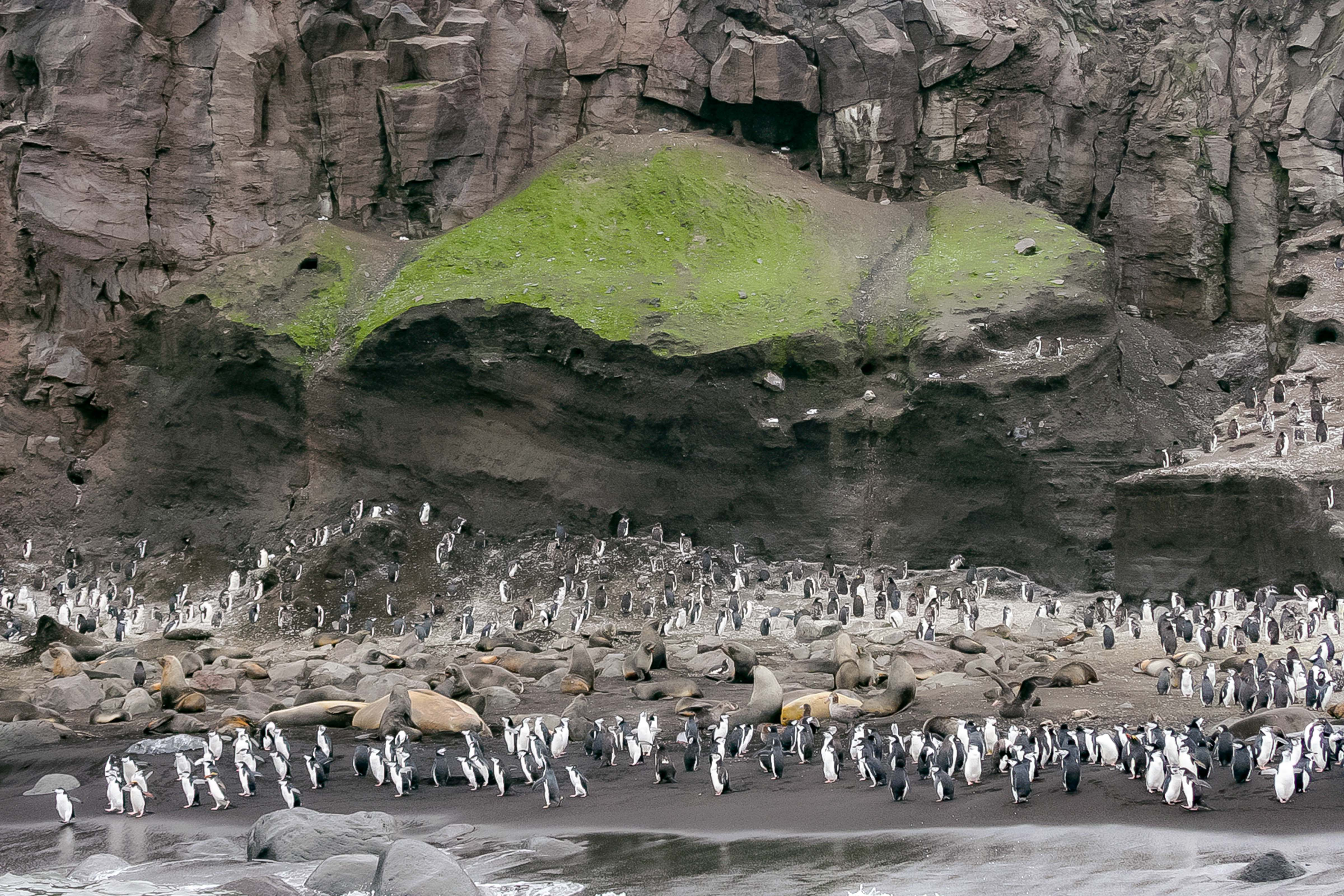South Sandwich Is, Green Seal Rookery, 2006