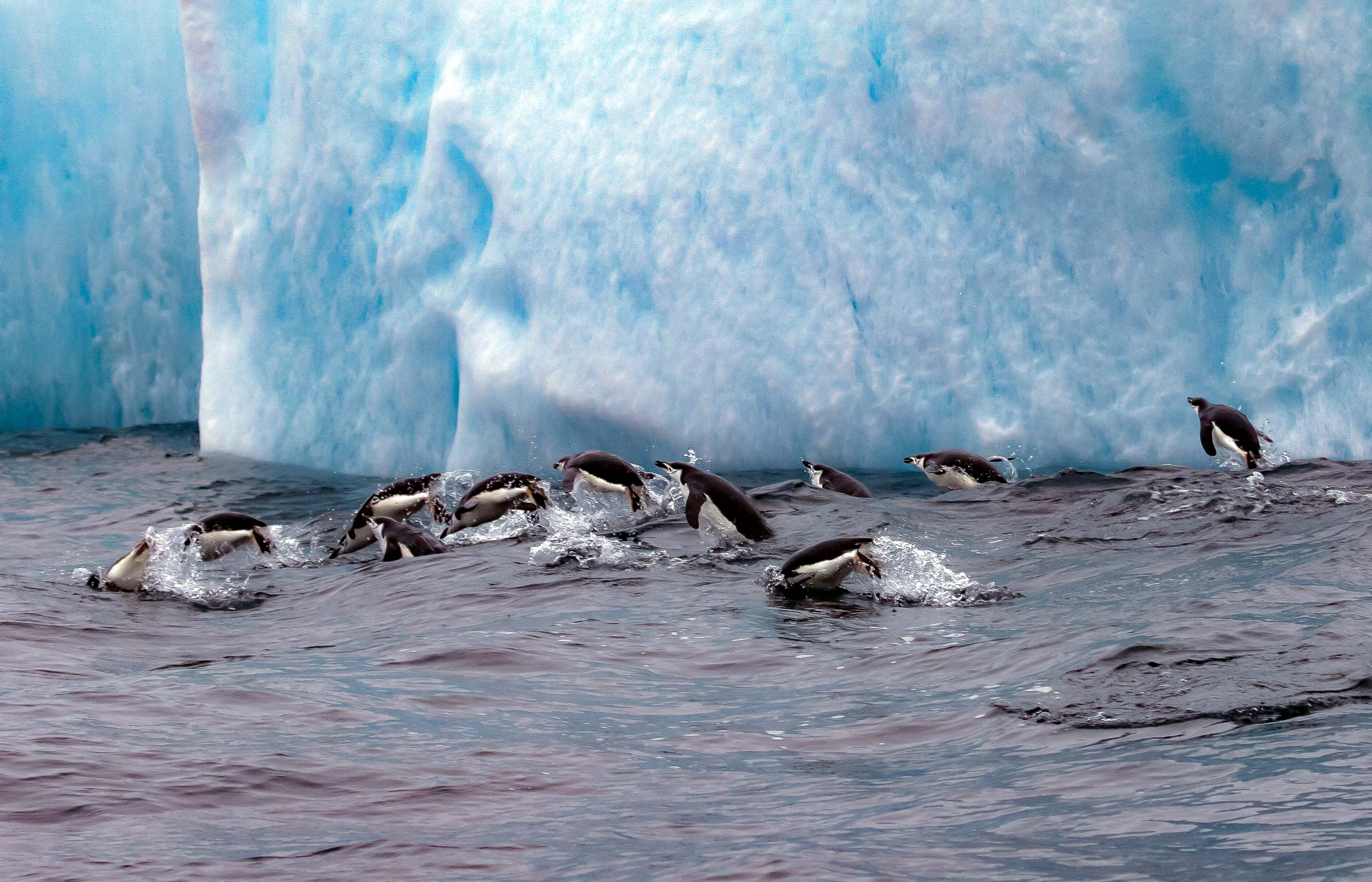 South Sandwich Is, Chinstrap Penguins Leaping Above Water, 2006