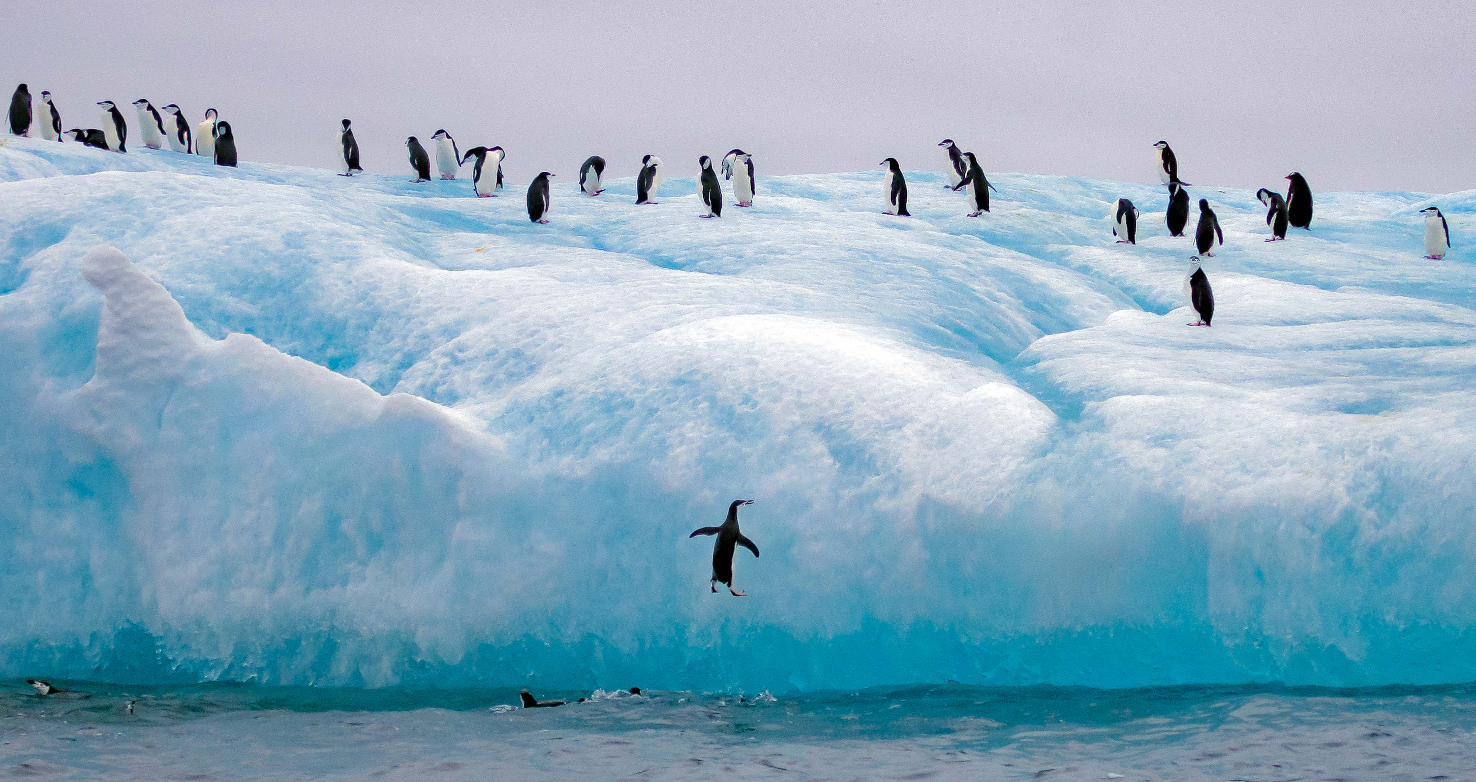 South Sandwich Is, Penguin Leaping On To Iceberg, 2006