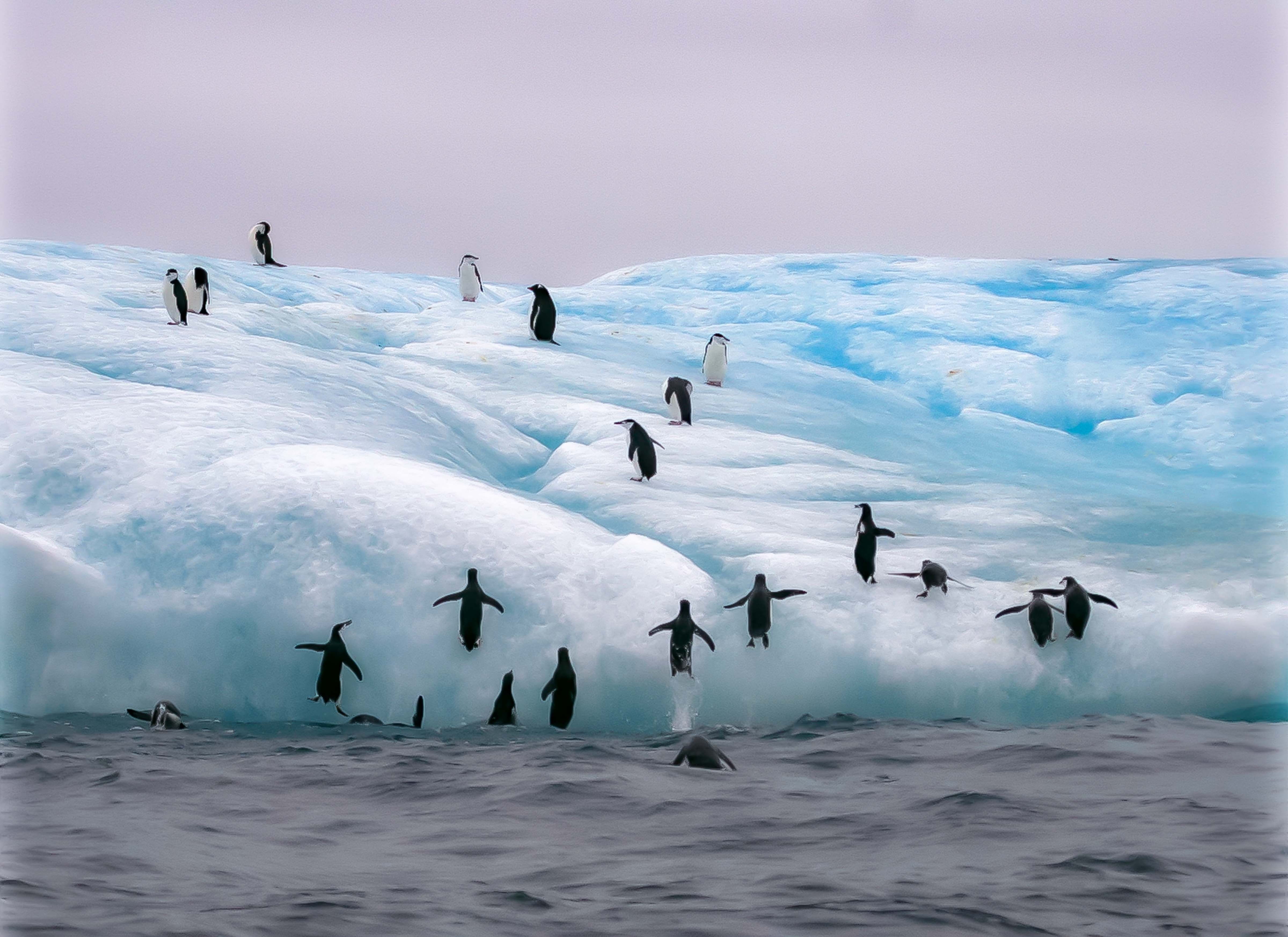 South Sandwich Is, Penguins Jumping Up On Iceberg, 2006
