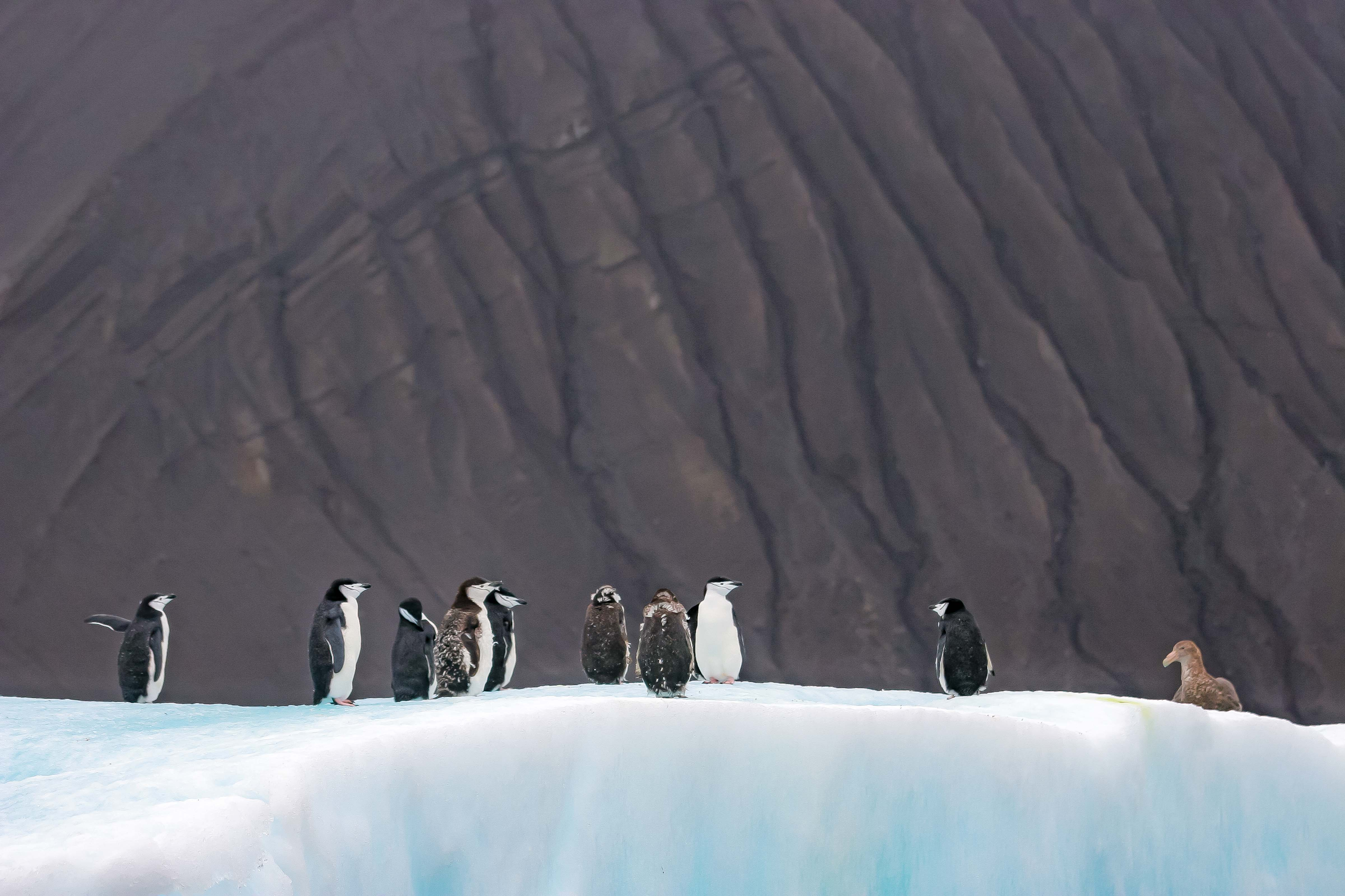 South Sandwich Is, Penguins On Iceberg With Mountain Behind, 2006