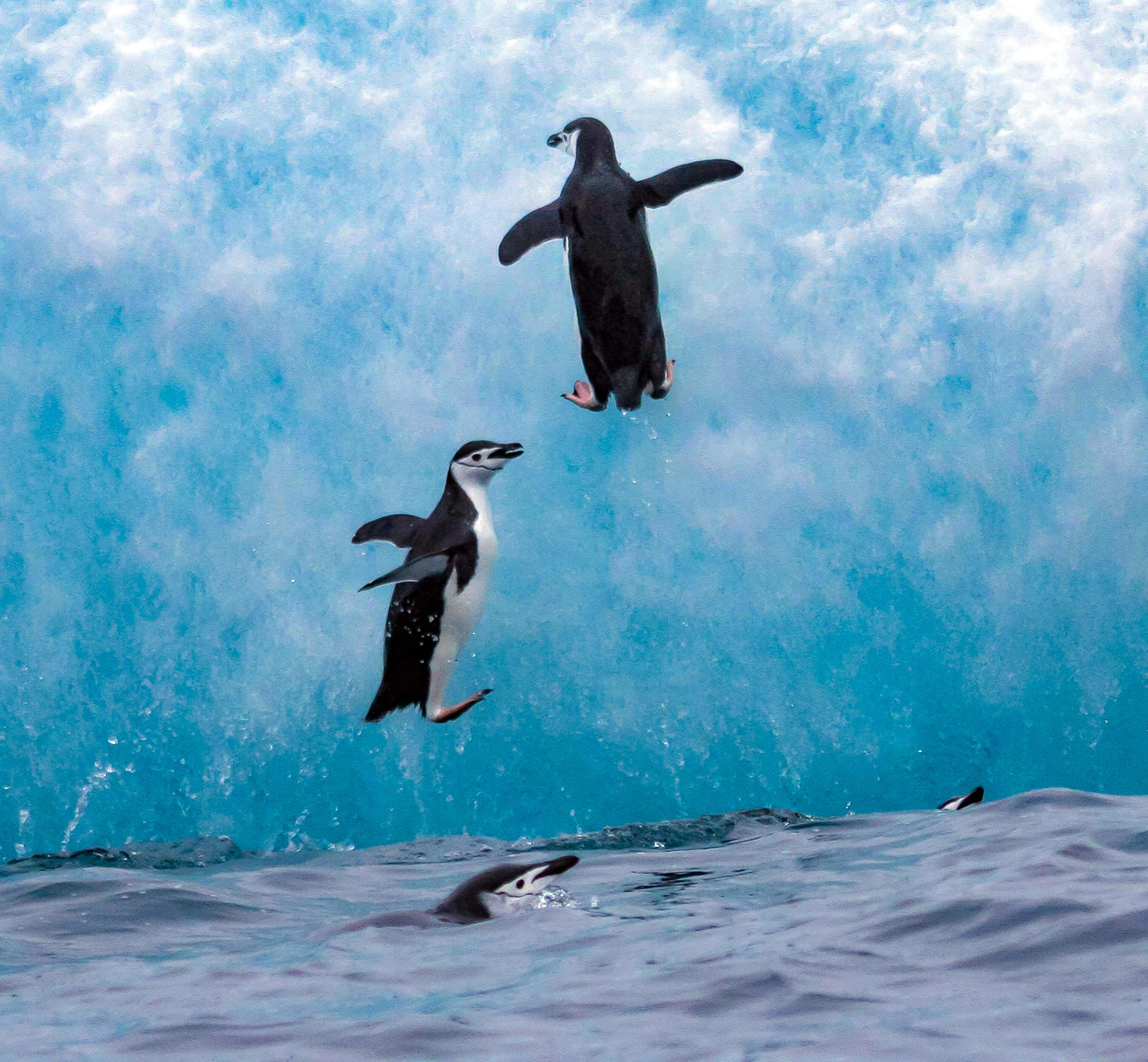 South Sandwich Is, Two Penguins Jumping Up On Iceberg, 2006