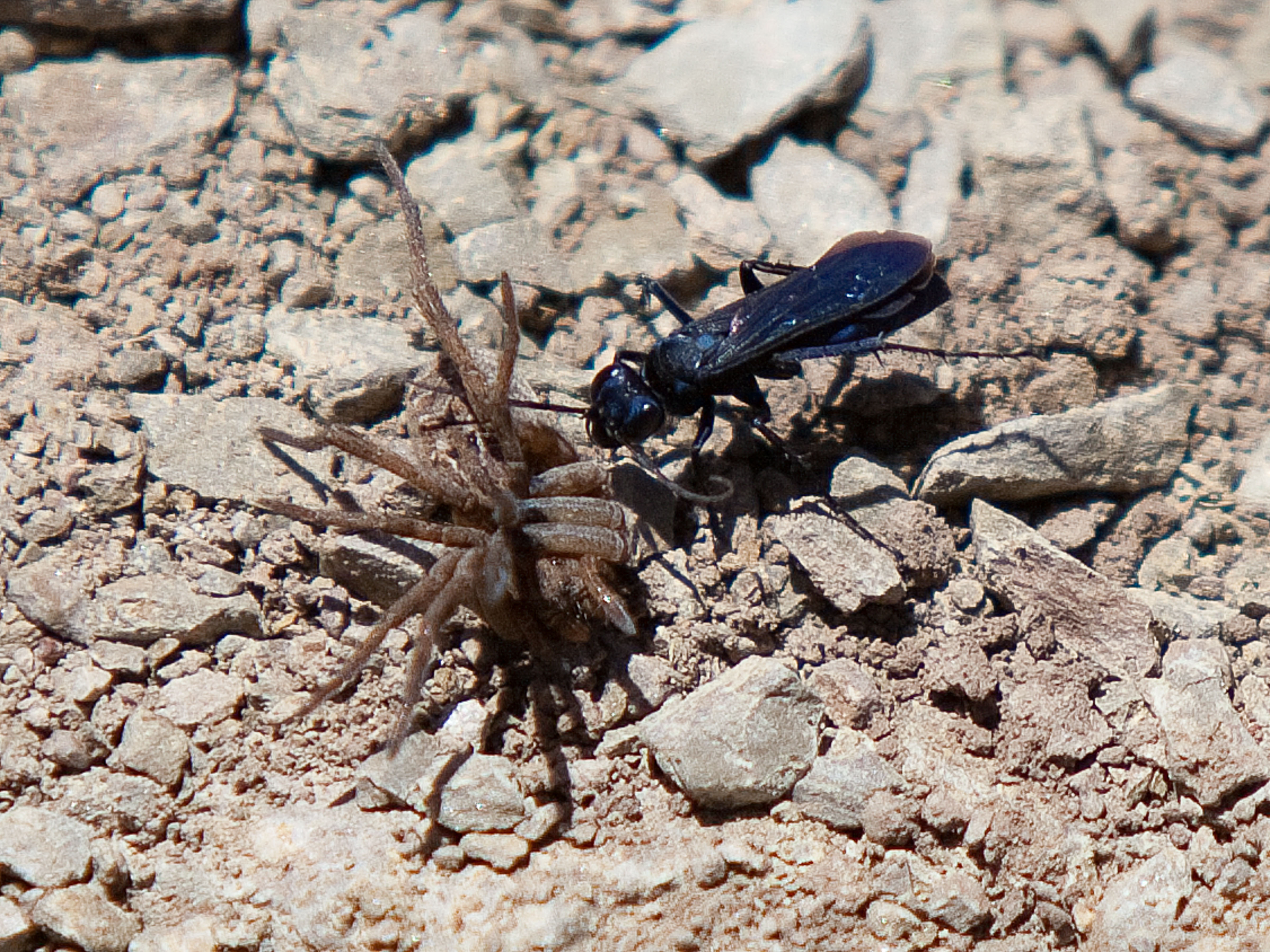 Blue Insect And Dead Spider